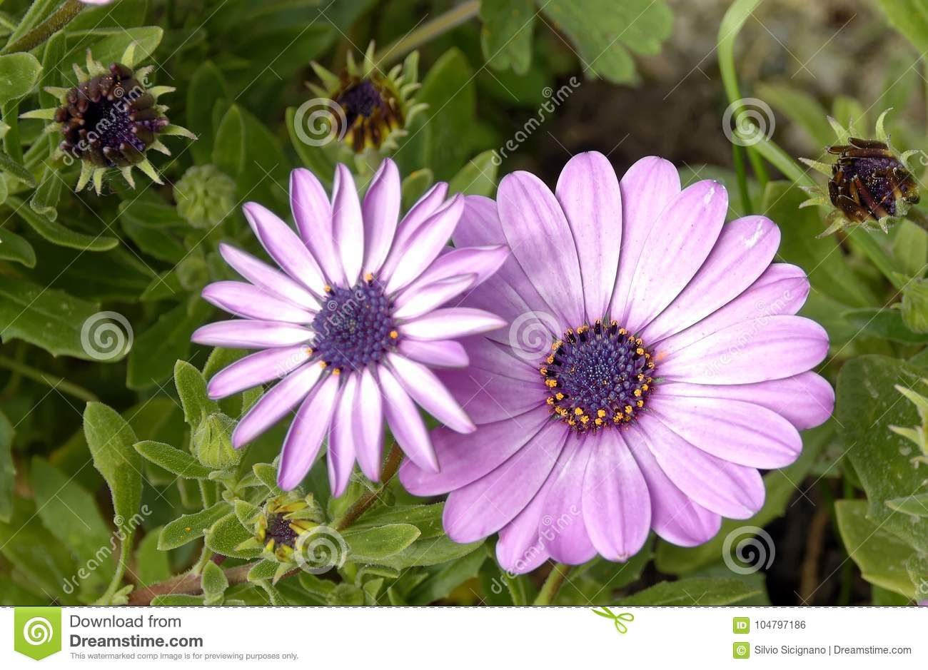 Spring Flowers Of Purple Daisy Type Stock Photo Image Of Camomile