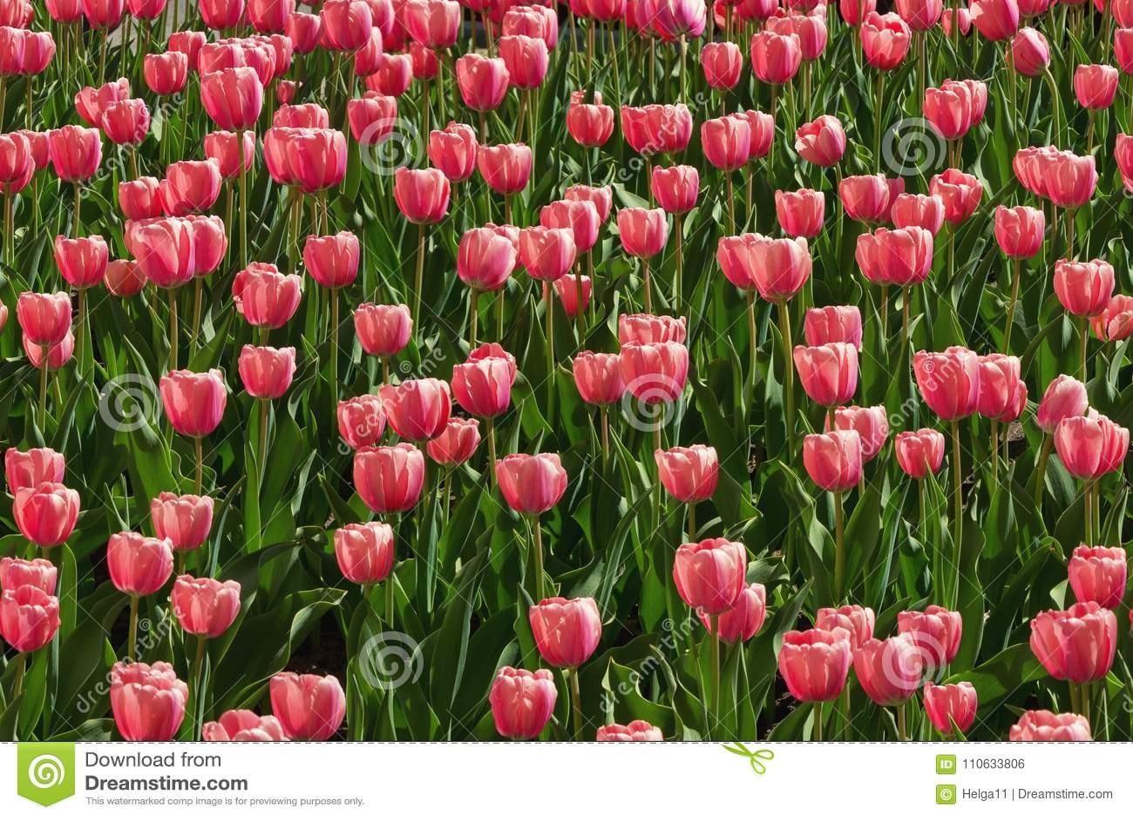 Spring Flowers Red Tulips Tulipa Horizontally Seamless Background