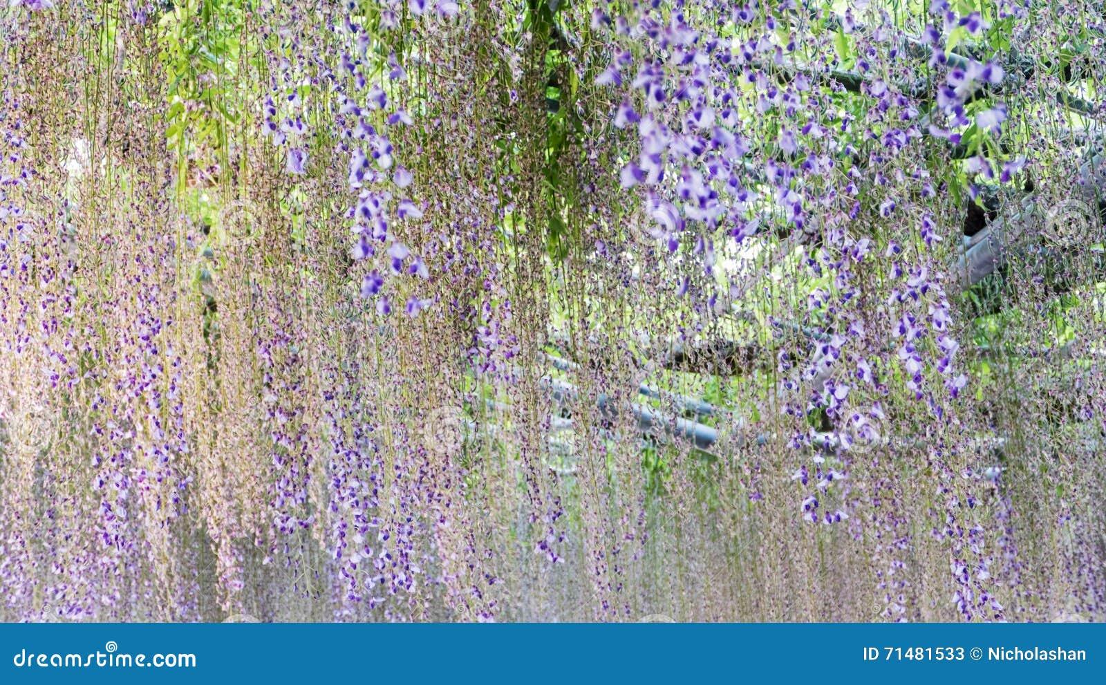 Download Spring Flowers Series, Wisteria Trellis In Garden Stock Image    Image Of Flora,