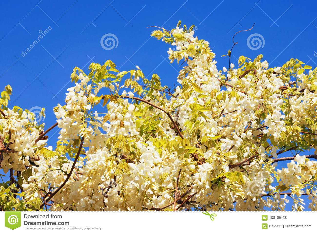 Spring flowers vine of blooming white wisteria against blue sky download spring flowers vine of blooming white wisteria against blue sky stock photo image mightylinksfo