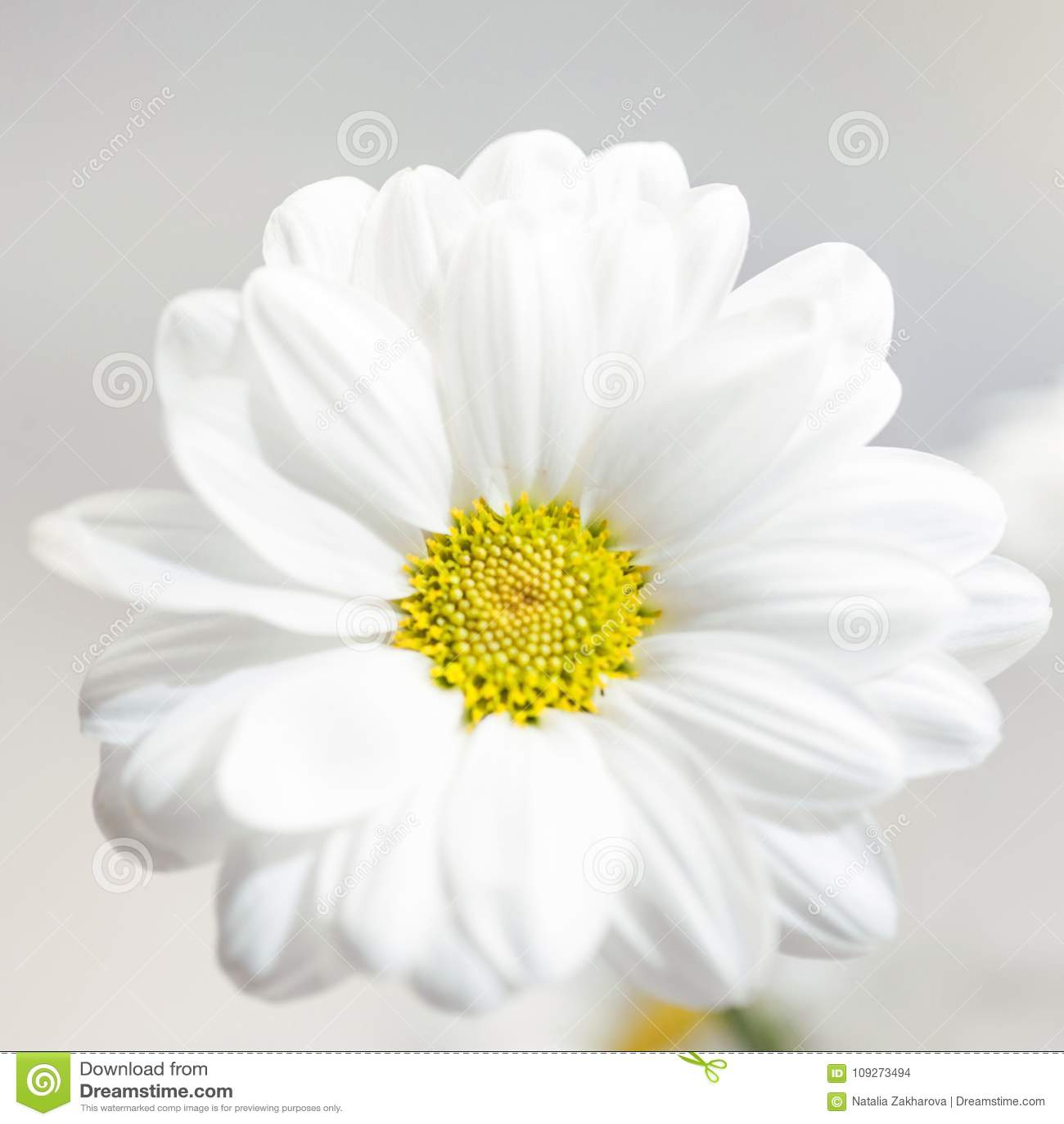 Spring flowers wallpaper white gerbera flower or daisy flower stock spring flowers wallpaper white gerbera flower or daisy flower on grey background close up mightylinksfo