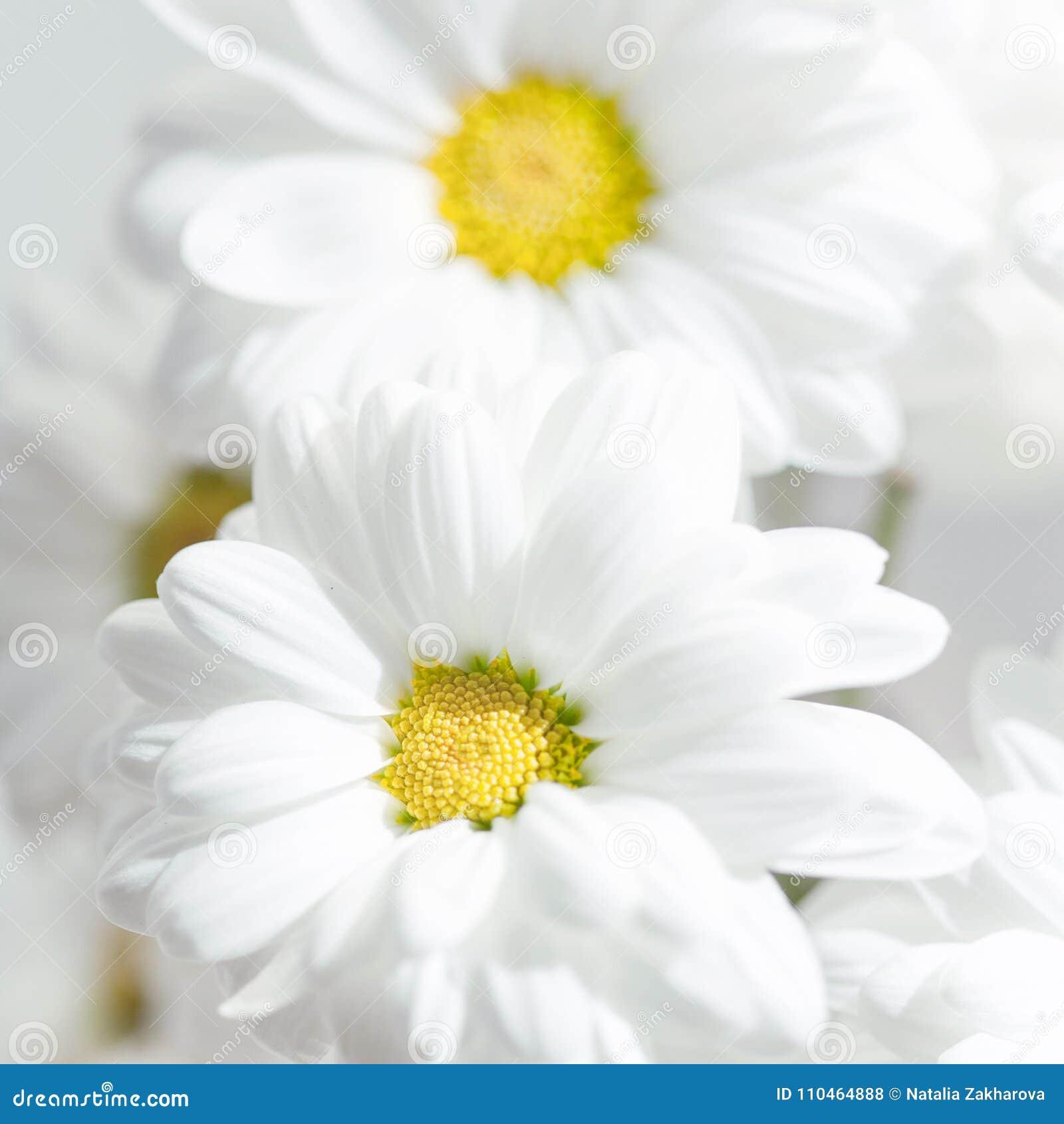 Spring Flowers Wallpaper White Gerbera Flower Or Daisy Flower Stock