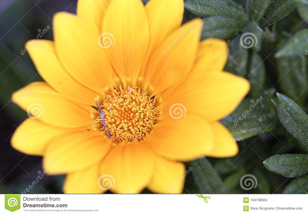 Spring Flowers Of Yellow Daisy Type Stock Photo Image Of Bright