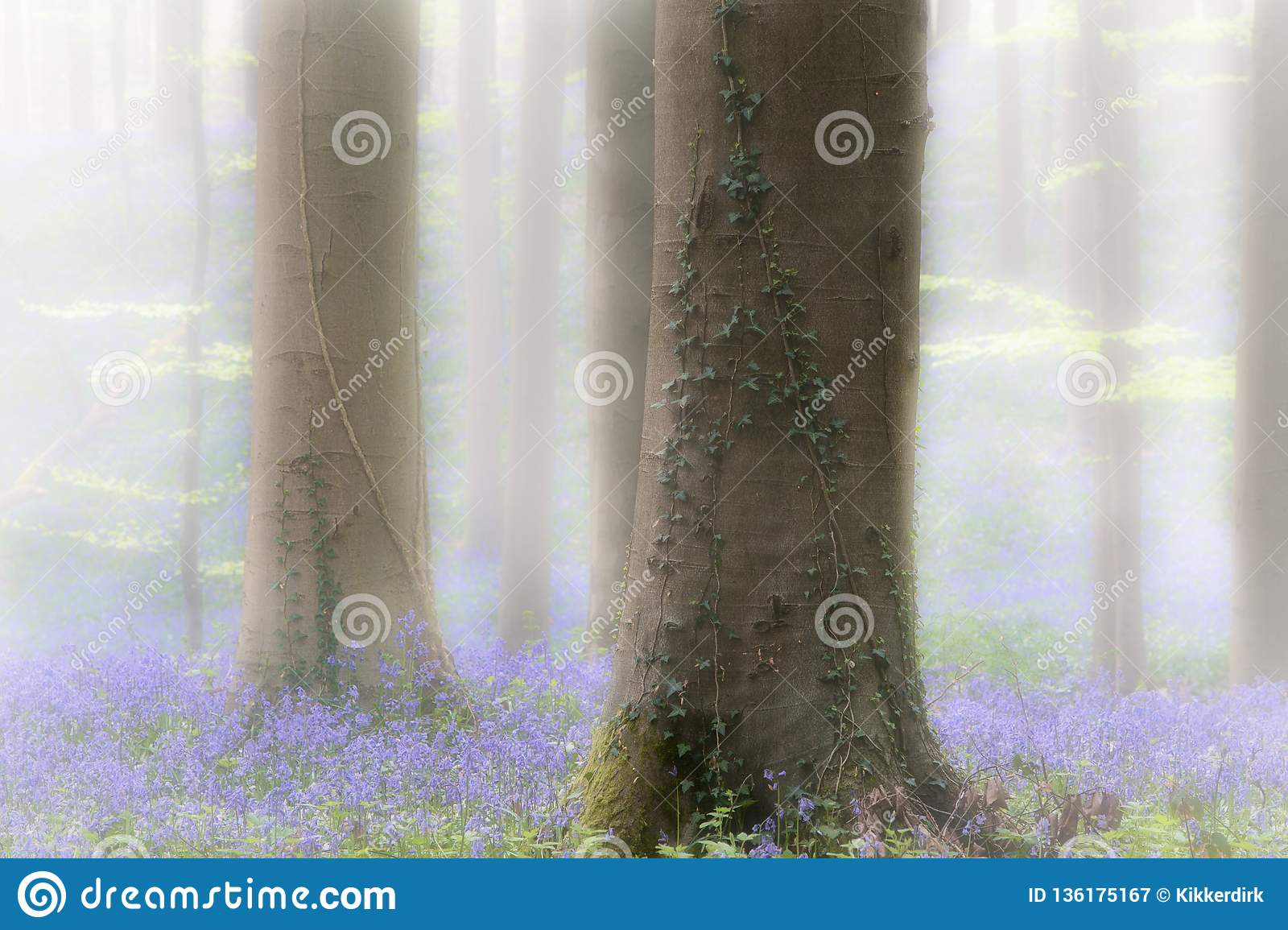 Spring forest with early violet blue bells in the foggy mist