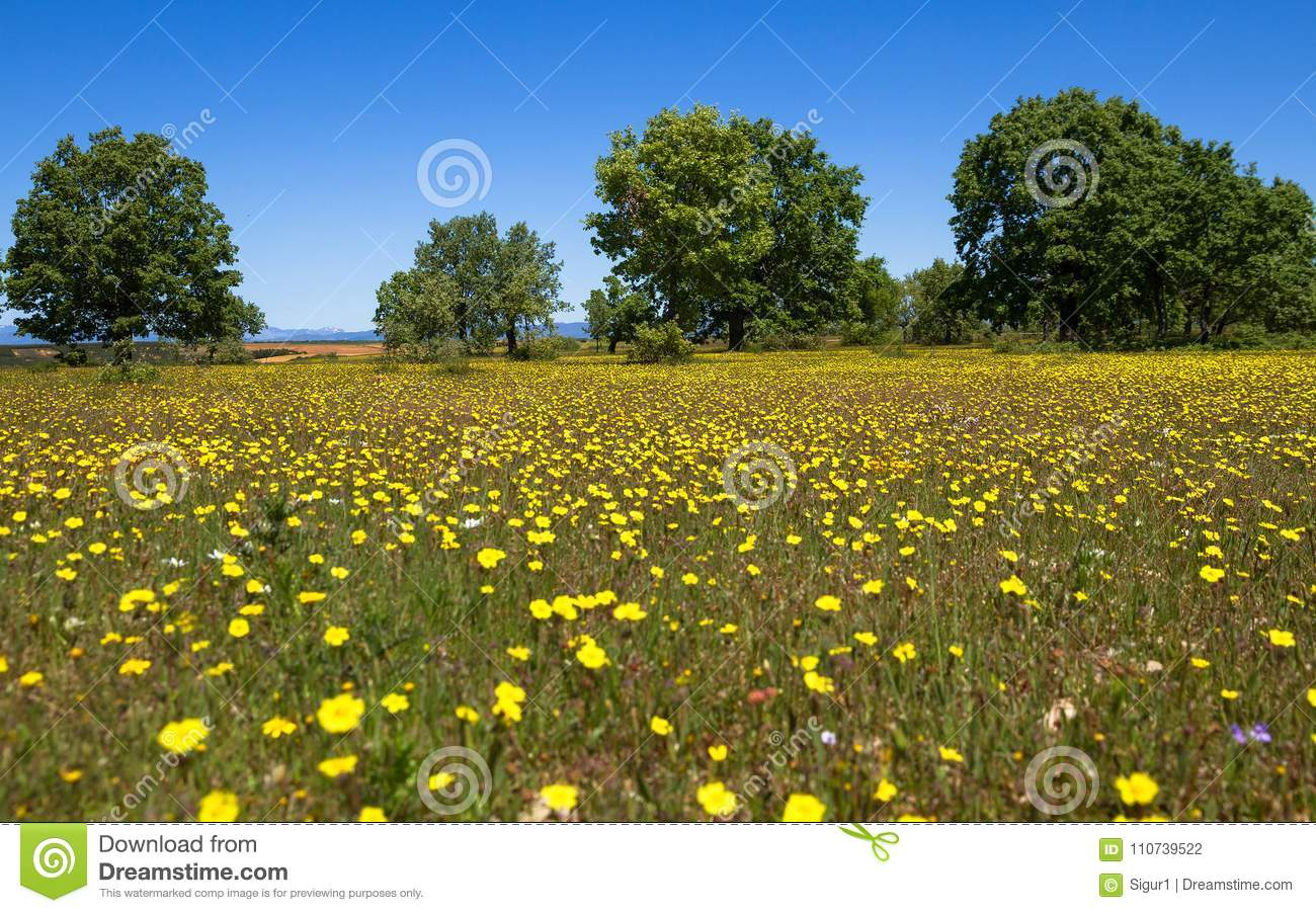 Spring Prairie Upholstered With Yellow Flowers And Scattered Trees