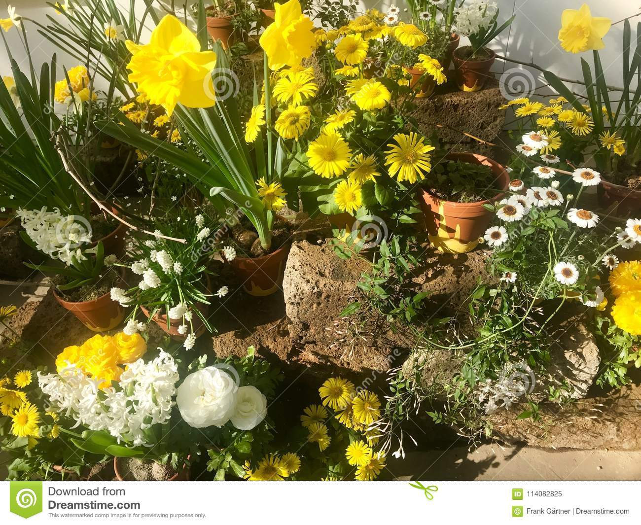 Spring garden flower arrangement in pots stock image image of variety of spring garden flower arrangement in white and yellow colors in pots sunlit on display in street shop mightylinksfo