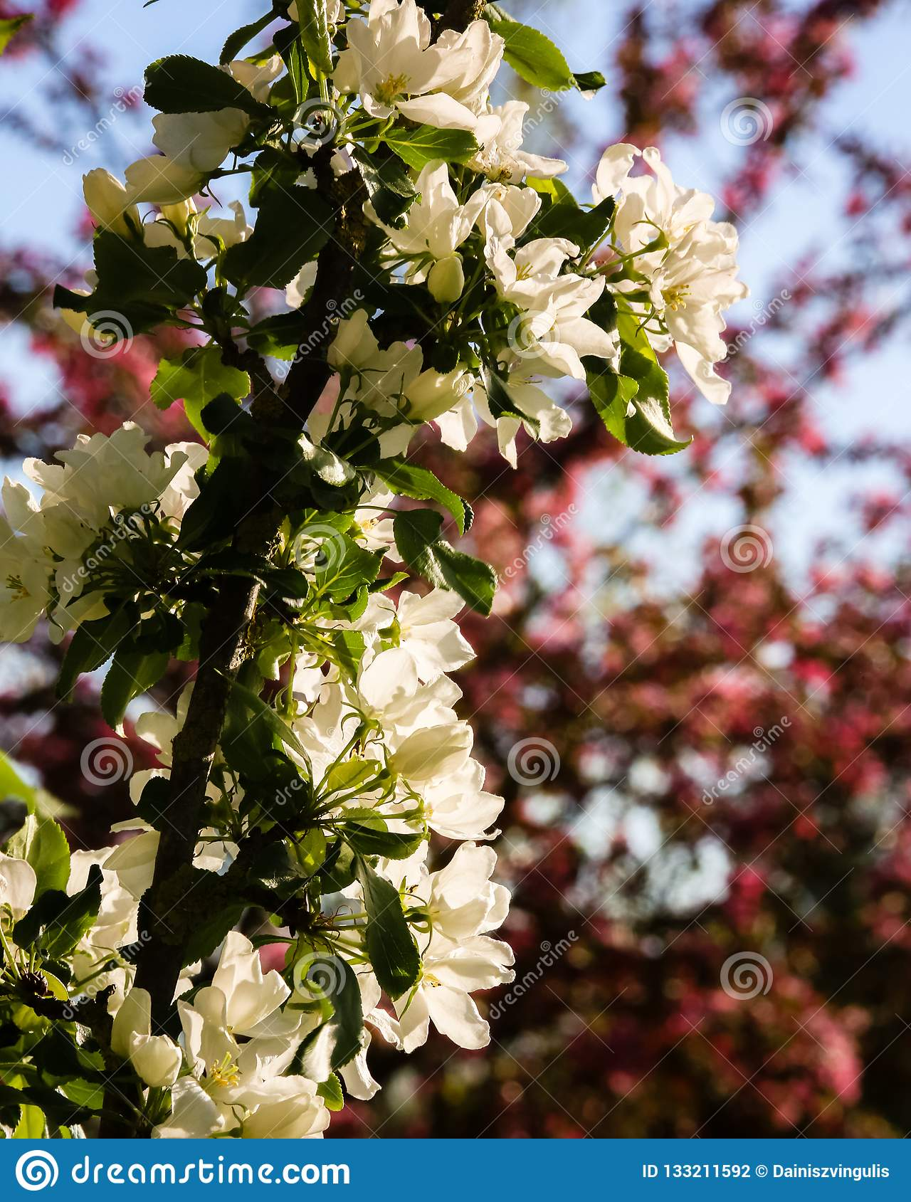 Flowering apple tree branch with white flowers