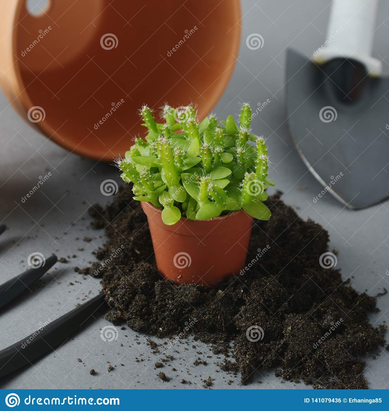 Spring Gardening Planting Indoor Succulent Plant Dragon Fruit
