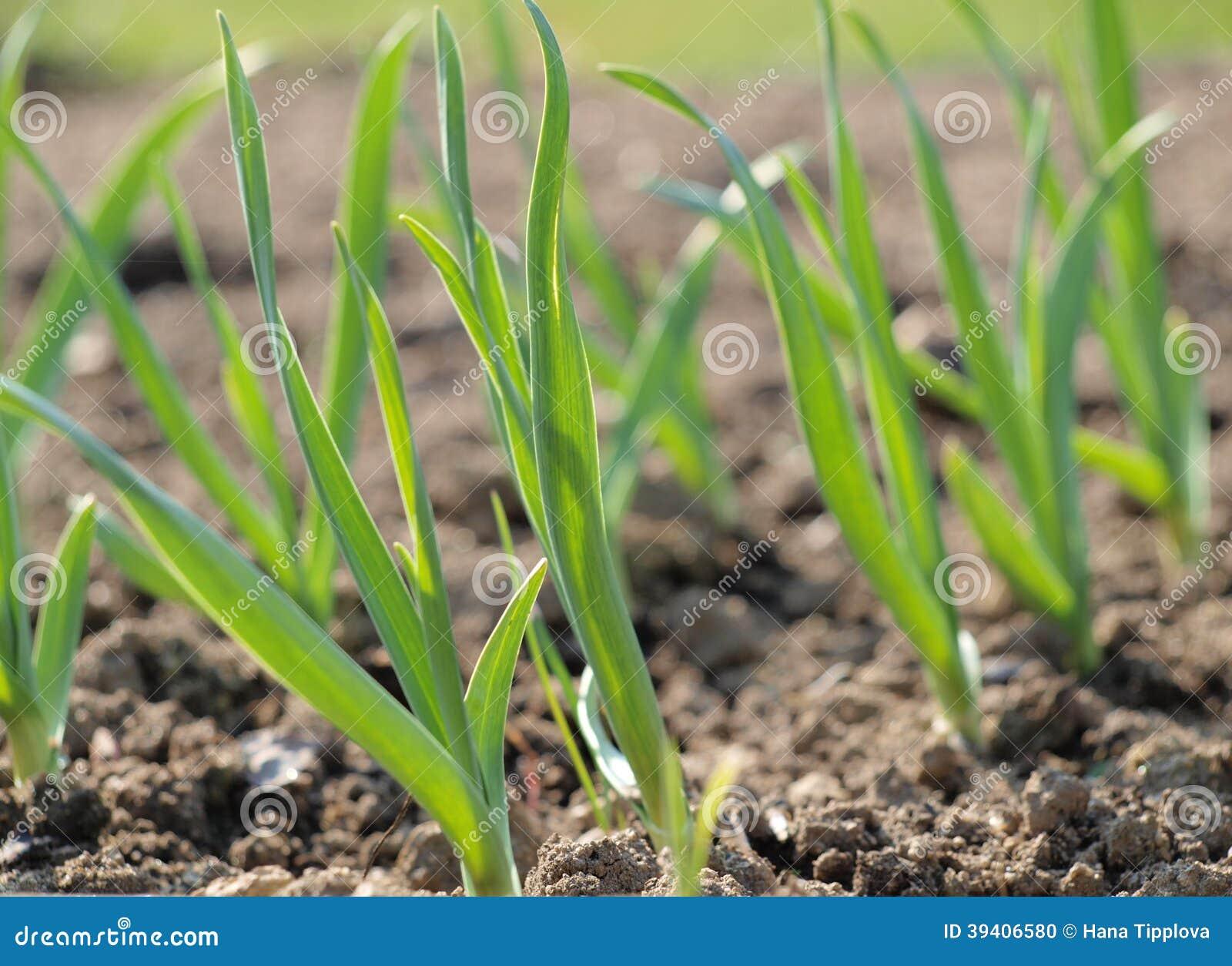 Spring garlic plant, South Bohemia