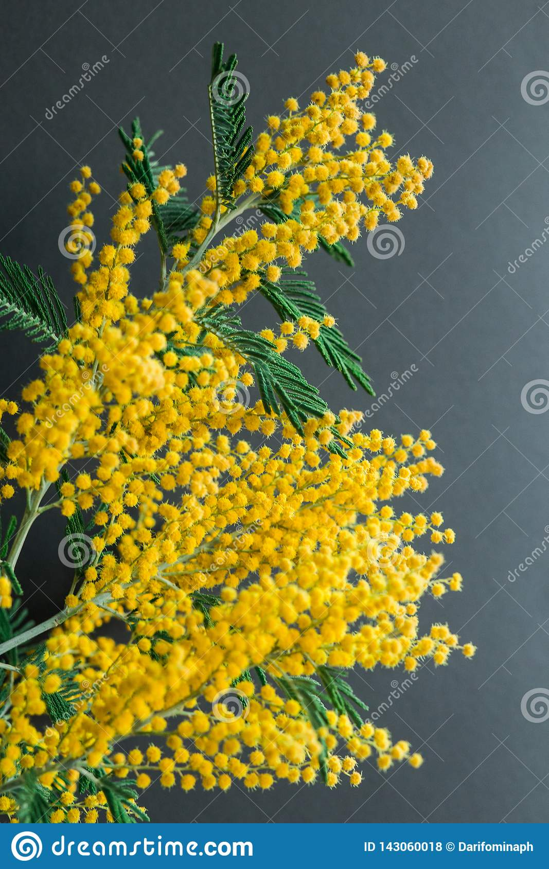 Spring gentle composition with Mimosa flowers on black background