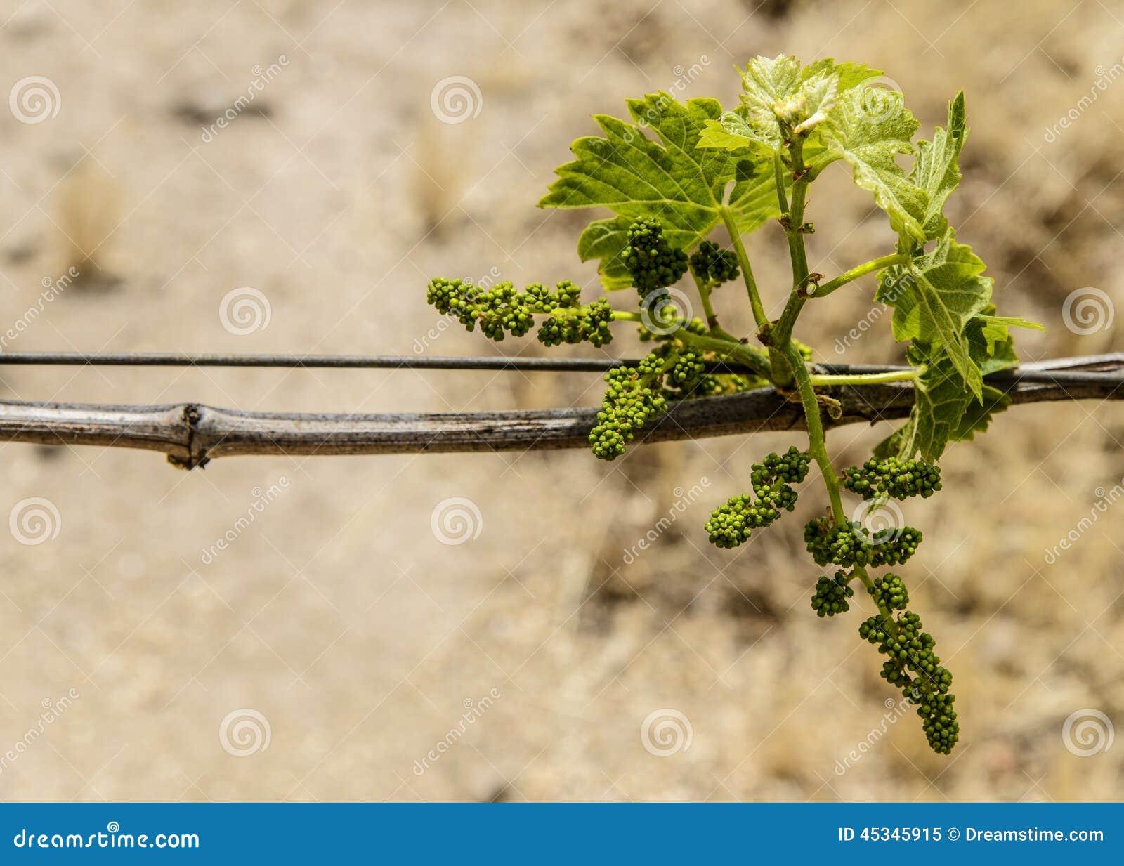Spring Grape Vine In Napa California Stock Image Image Of Leaves