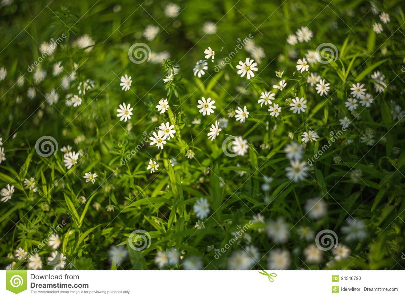 Spring Green Grass Texture With White Flowers Stock Photo Image Of
