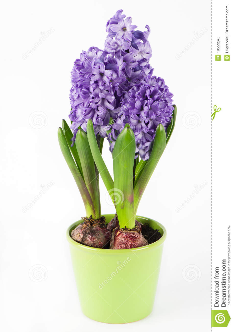Spring hyacinth flower in pot royalty free stock image image 18559246 - Planting hyacinths pots ...