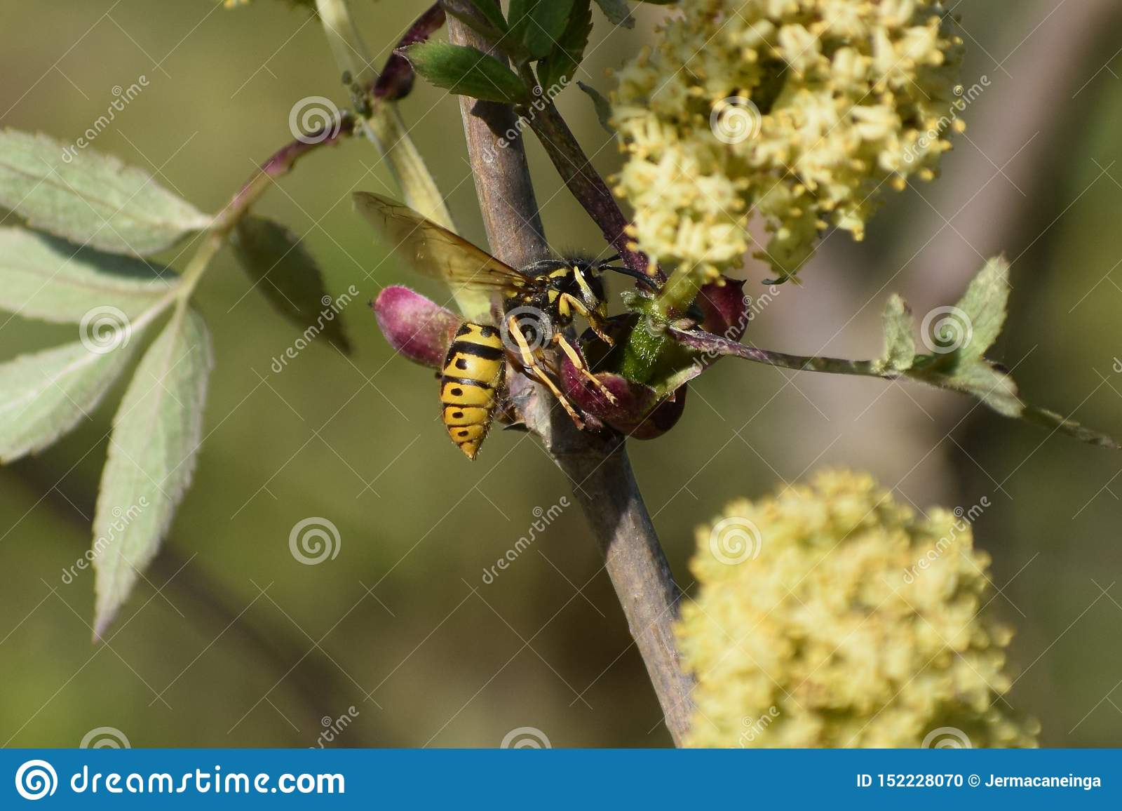 Wasp in a blooming elderberry