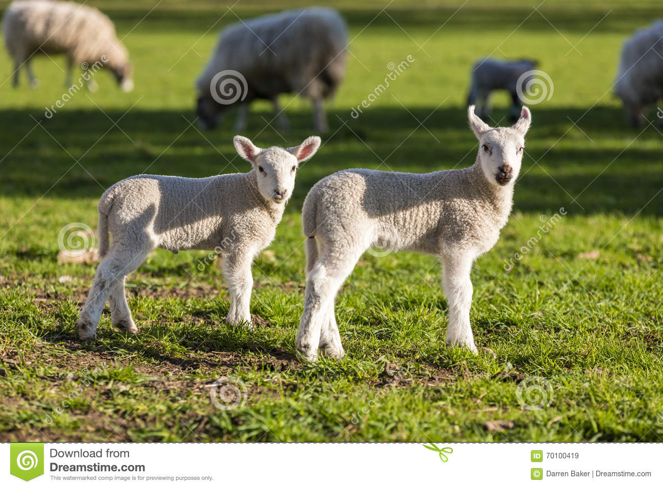 » Sweet And Adorable Animal Photos  |Baby Lambs In Spring