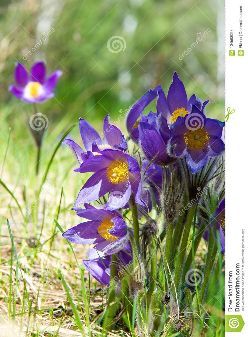 Spring landscape flowers growing in the wild spring flower pul download spring landscape flowers growing in the wild spring flower pul stock image mightylinksfo