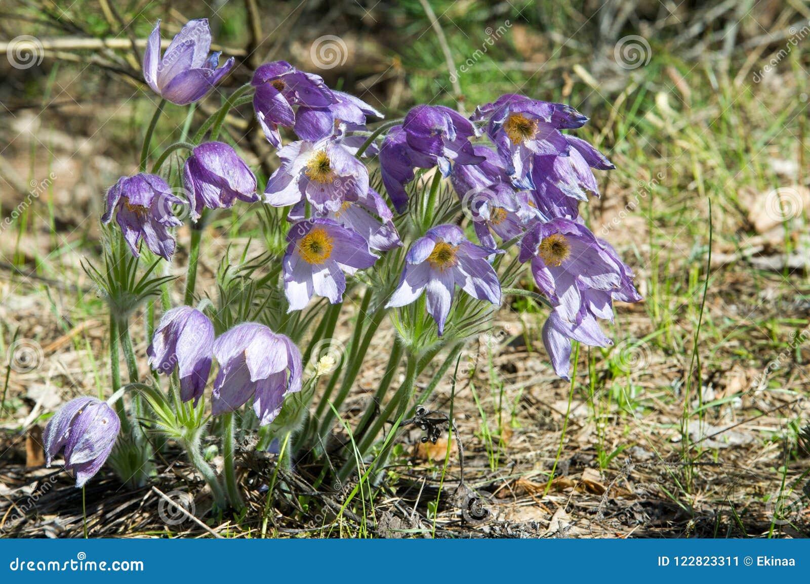 Spring landscape flowers growing in the wild spring flower pul download spring landscape flowers growing in the wild spring flower pul stock image mightylinksfo
