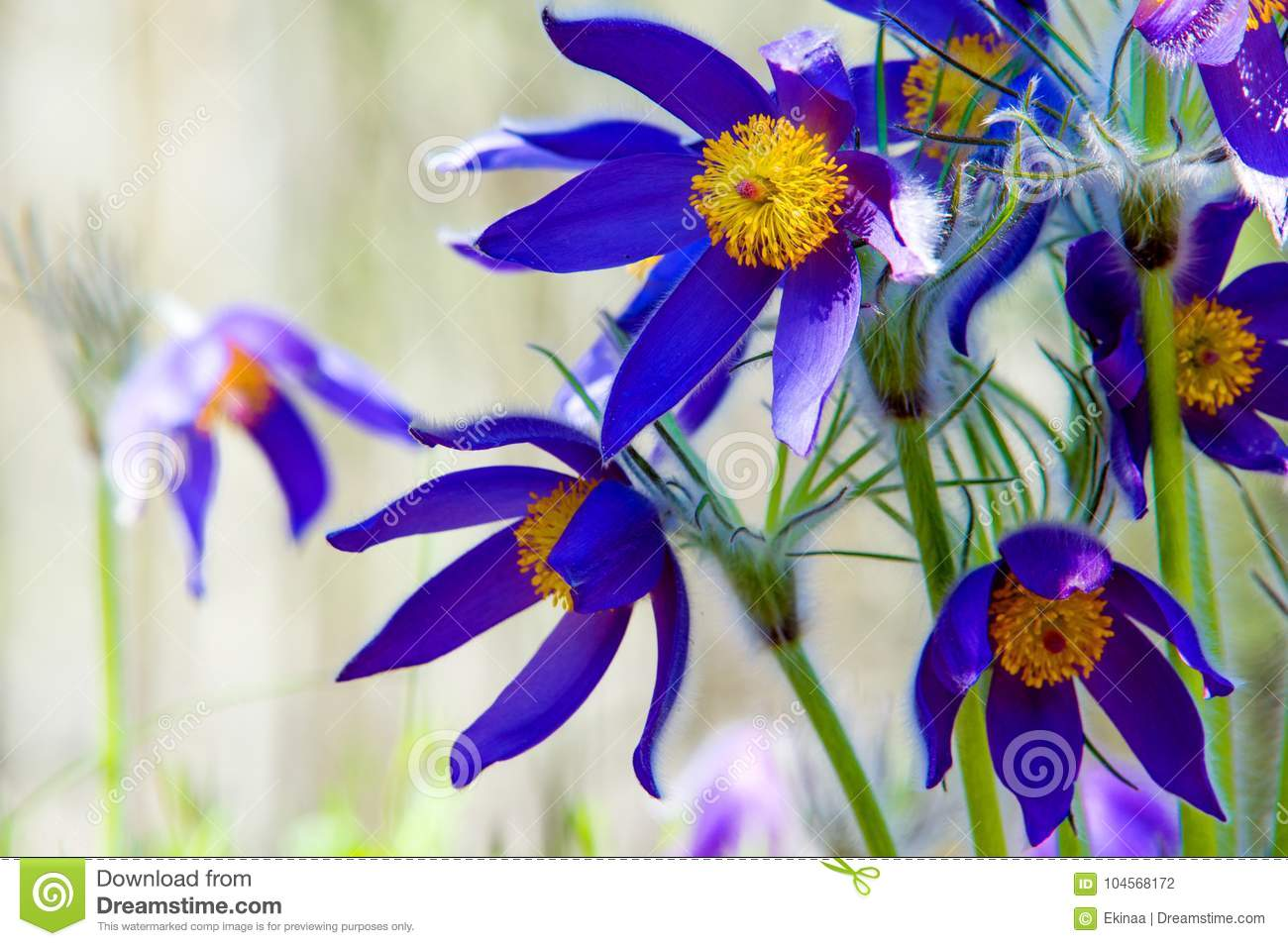 Spring landscape flowers growing in the wild spring flower pul spring landscape flowers growing in the wild spring flower pulsatilla common names include pasque flower or pasqueflower wind flower prairie crocus mightylinksfo