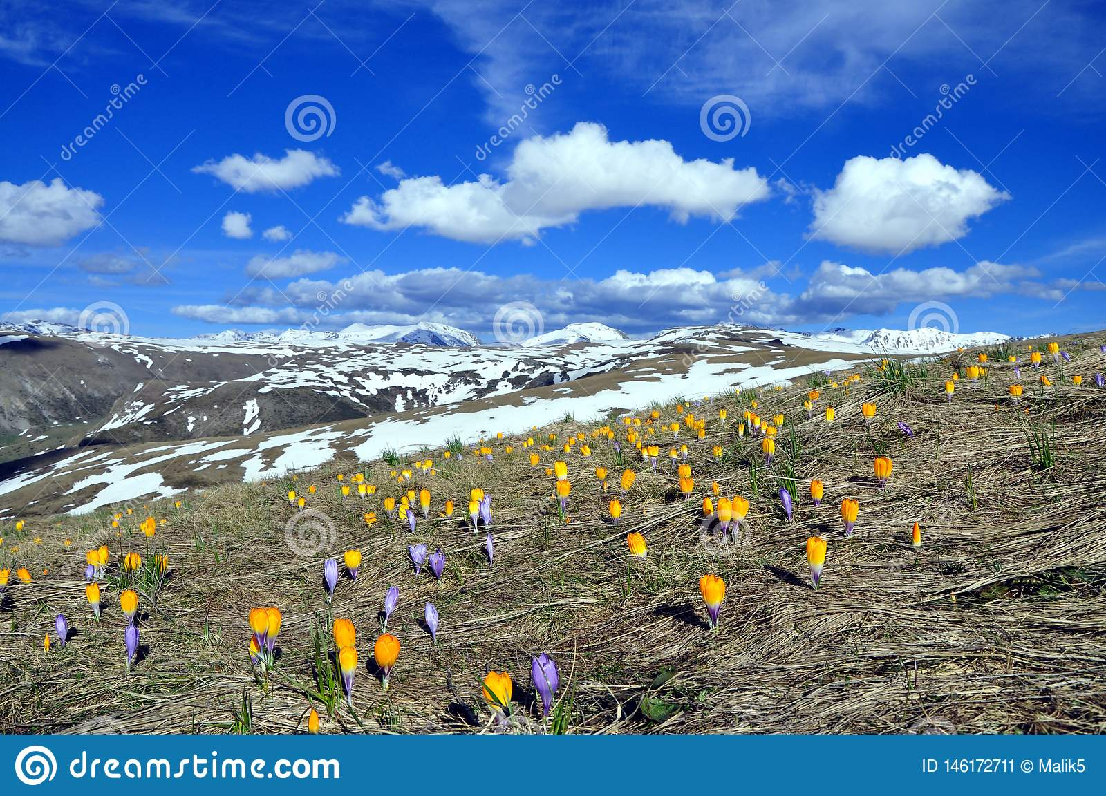 Spring Landscape with Many Crocuses in The mountain
