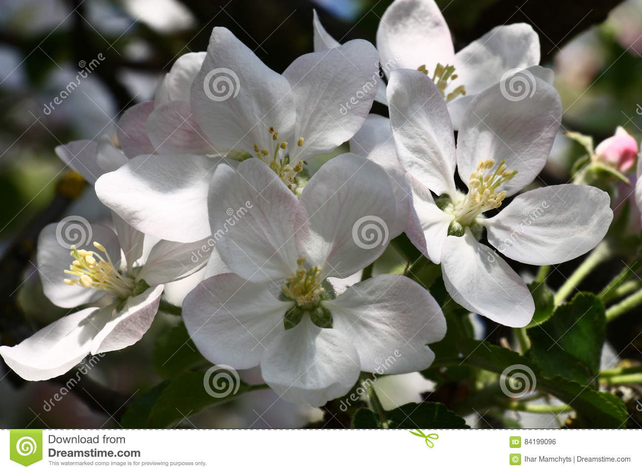Spring large flowers of an apple tree stock photo image of group group of large flowers of an apple tree with a pink pattern on white petals mightylinksfo