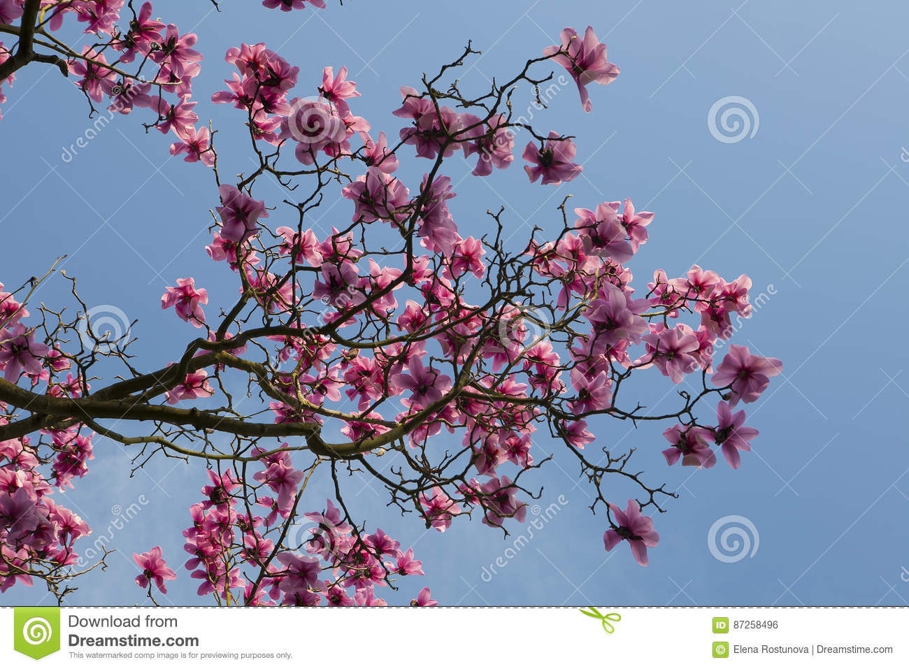 Spring In London Magnolia Leonard Messel Pink Flower And Bud