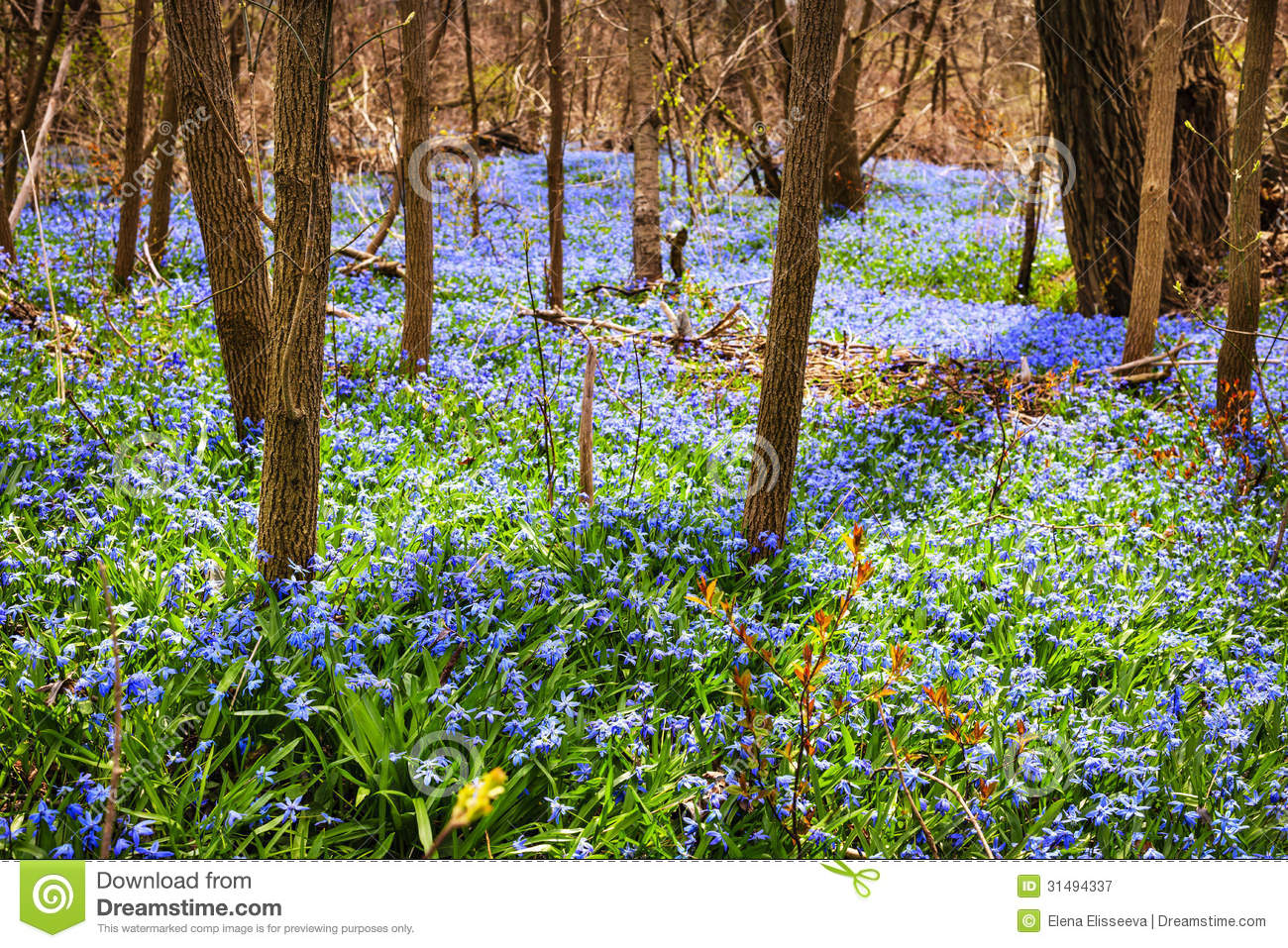 Spring Blue Flowers Wood Squill Stock Image Image Of Bloom Carpet