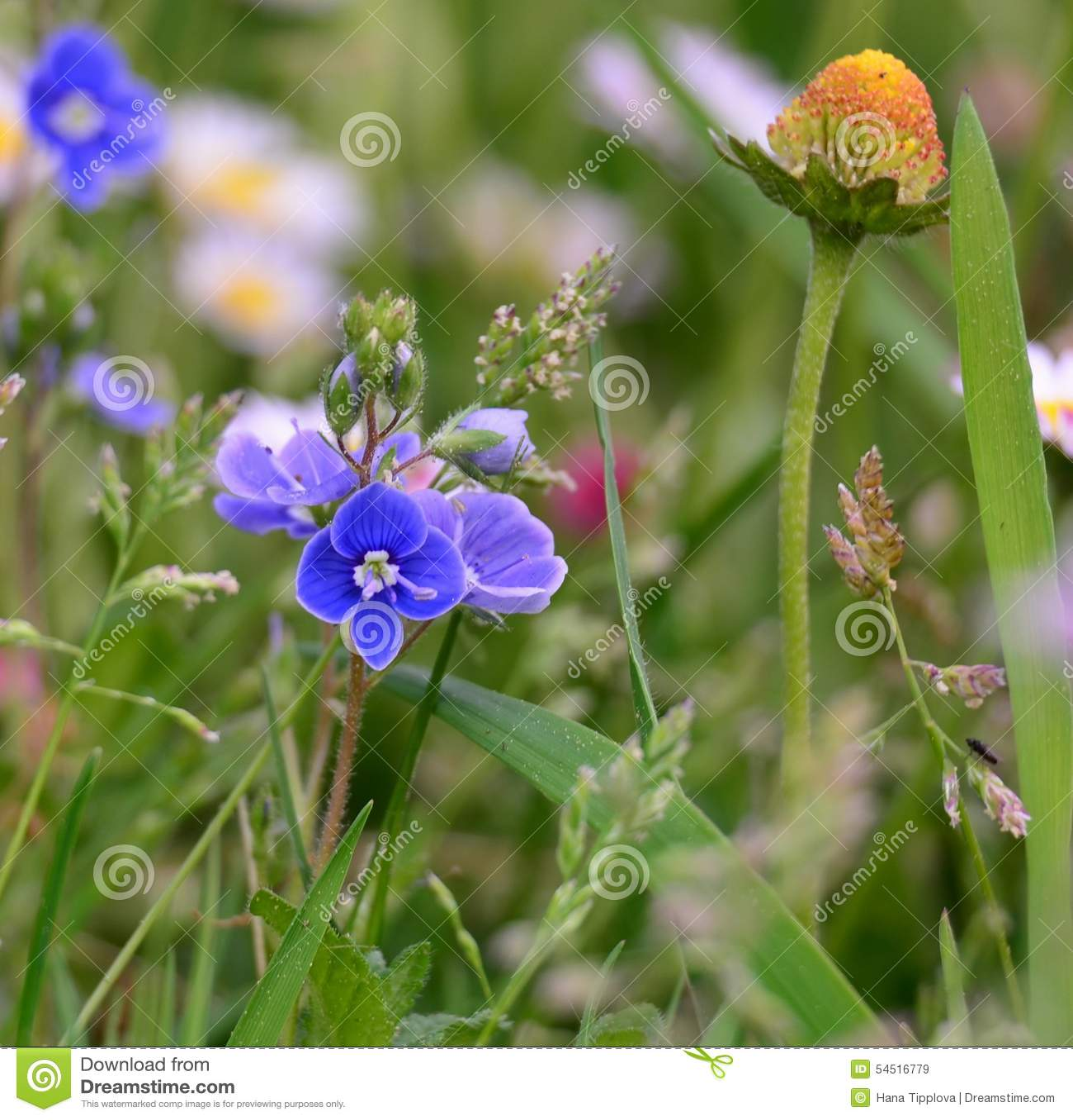 Spring meadow flowers, South Bohemia