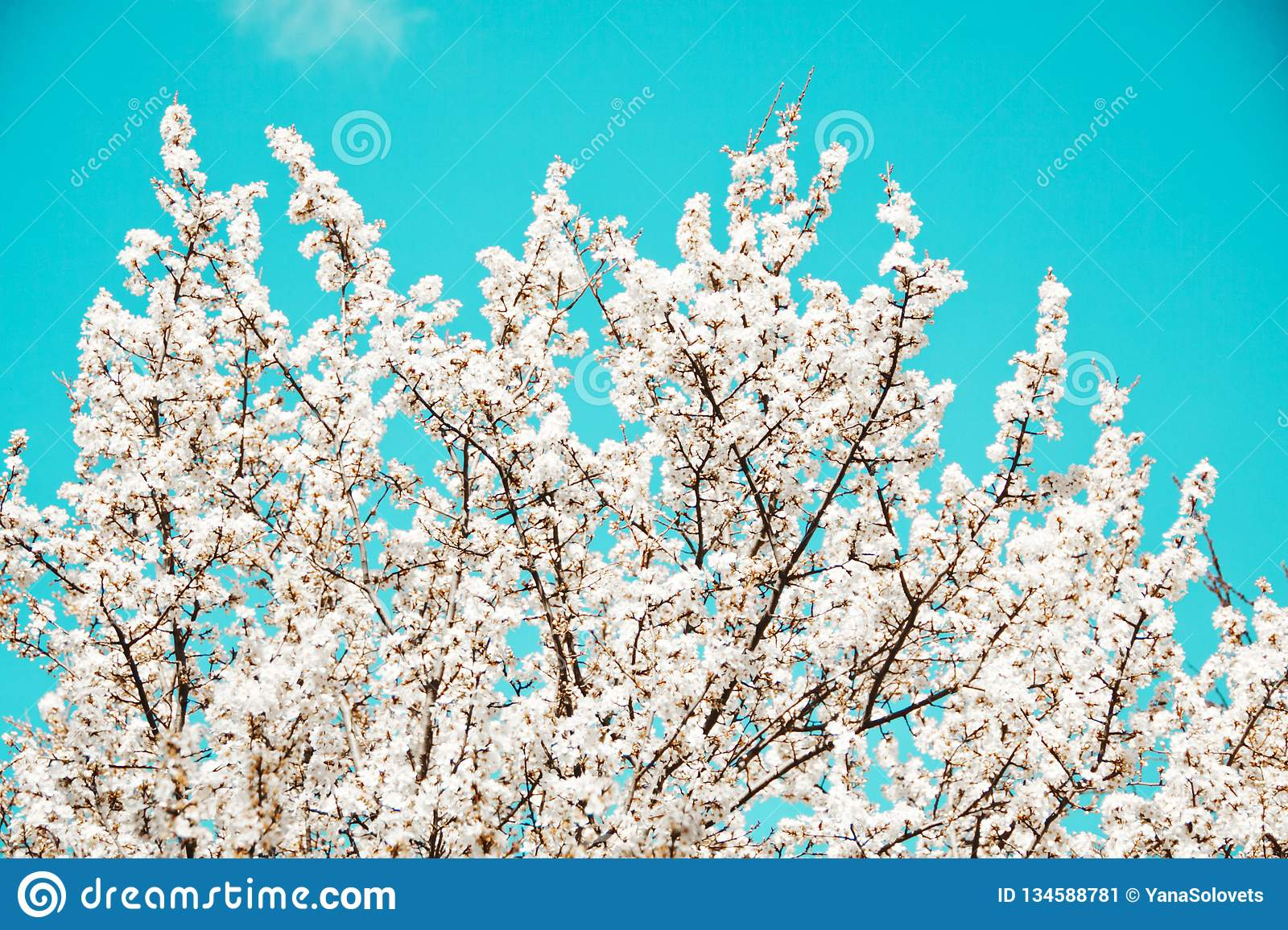 Spring mood. Fresh blue background with white blooming cherry flowers for the holidays