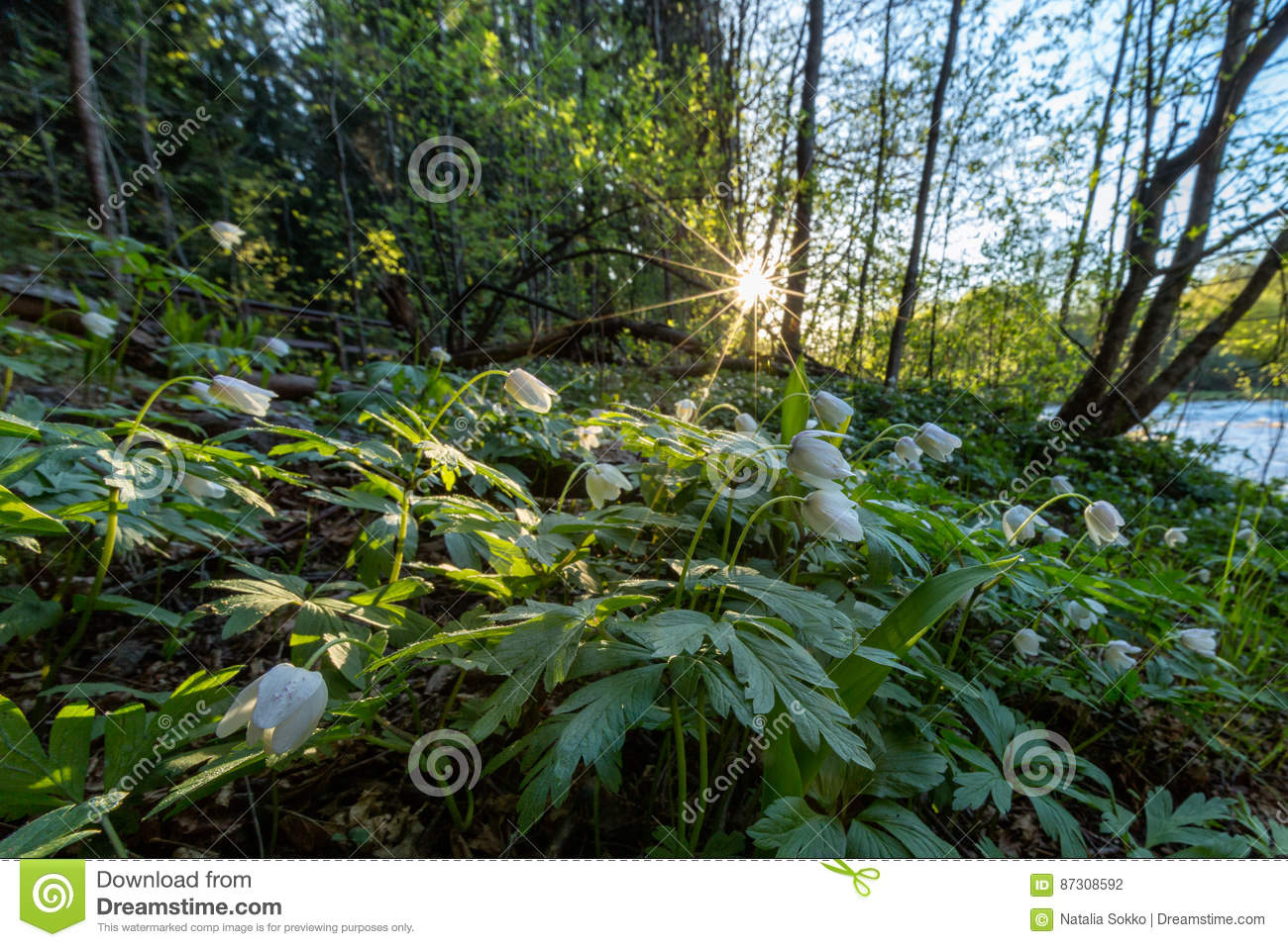 Spring Morning In The Forest With Flowers On The Foreground Stock