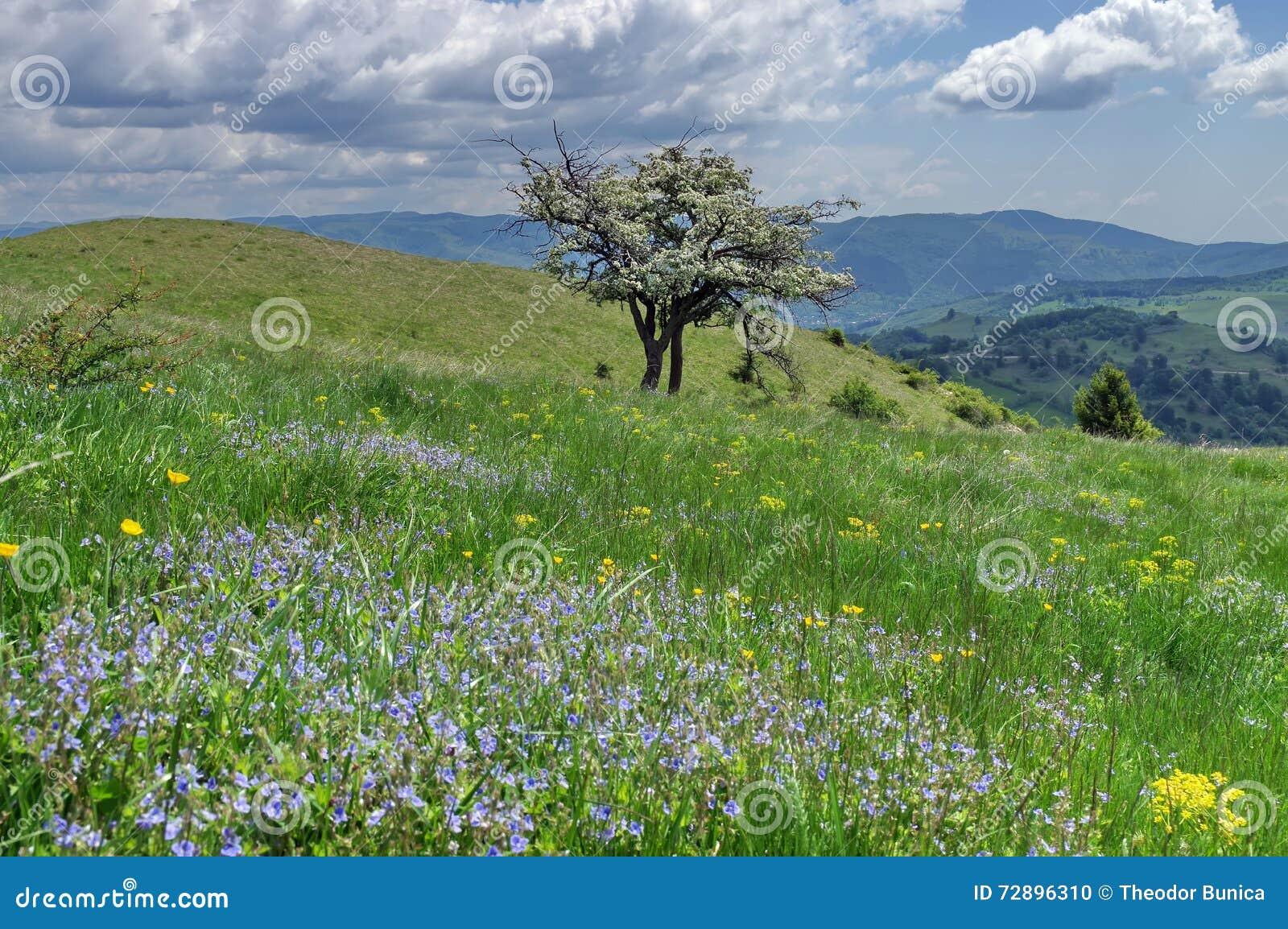Flowers in meadow. Spring mountain landscape - Baiului Mountains, landmark attraction in Romania