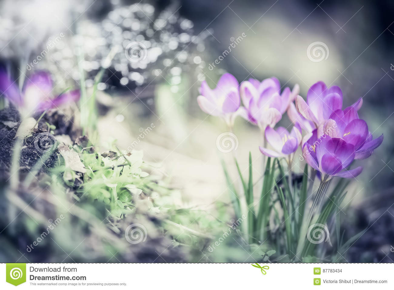 Spring nature background with pretty crocuses flowers in garden or park