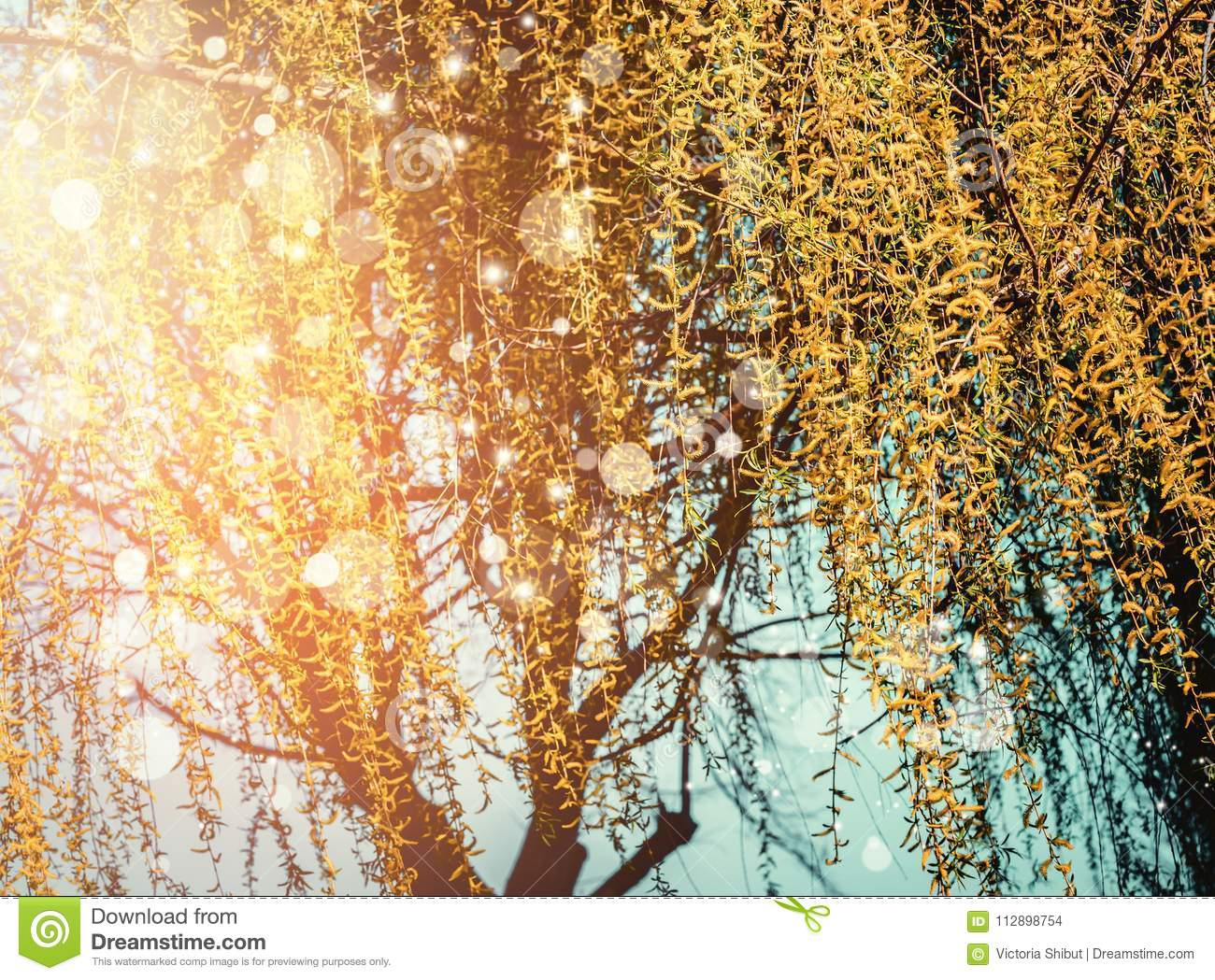 Spring nature background with yellow weeping willow blossom at sunset