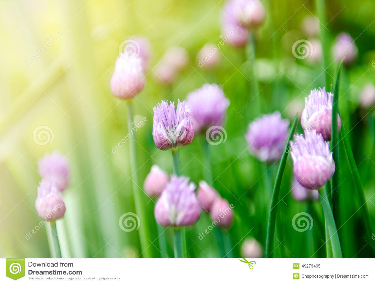 Spring Onion Flowers Stock Image Image Of Plant Flower 49273495