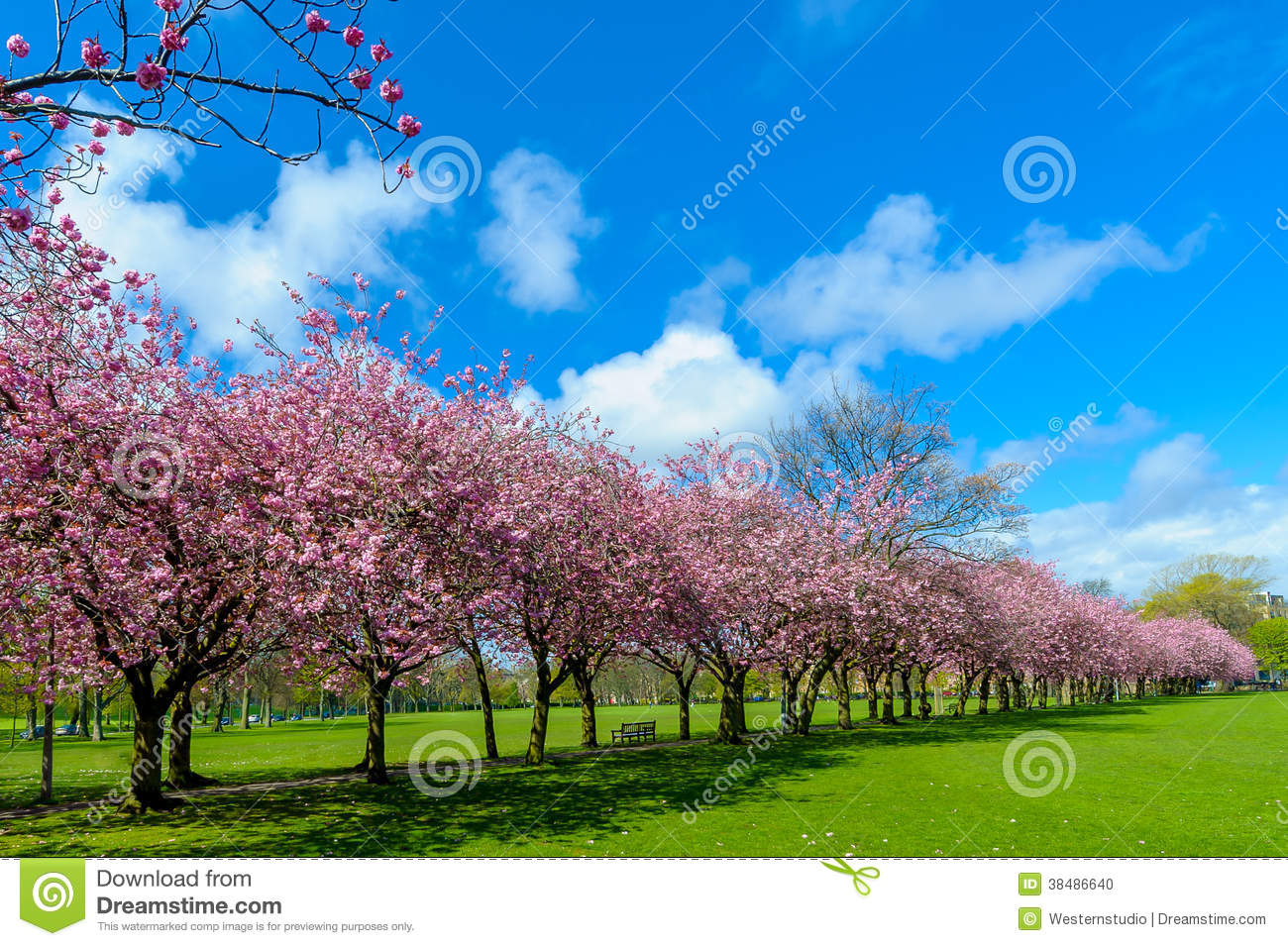 Spring Path In Park With Cherry Blossom And Pink Flowers Stock