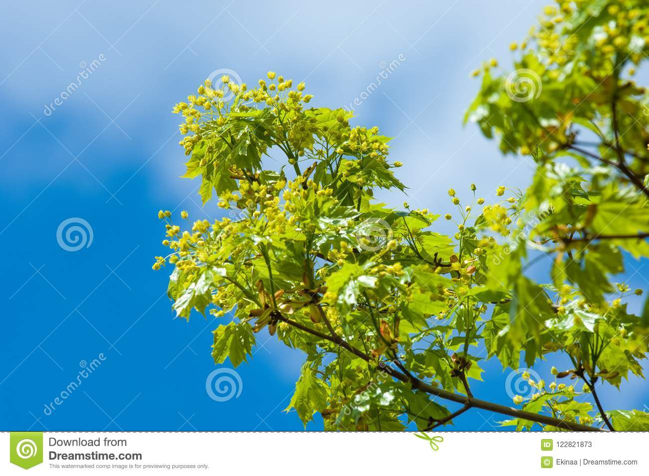Spring photo of flowers. Maple tree. spring flowers of the norw