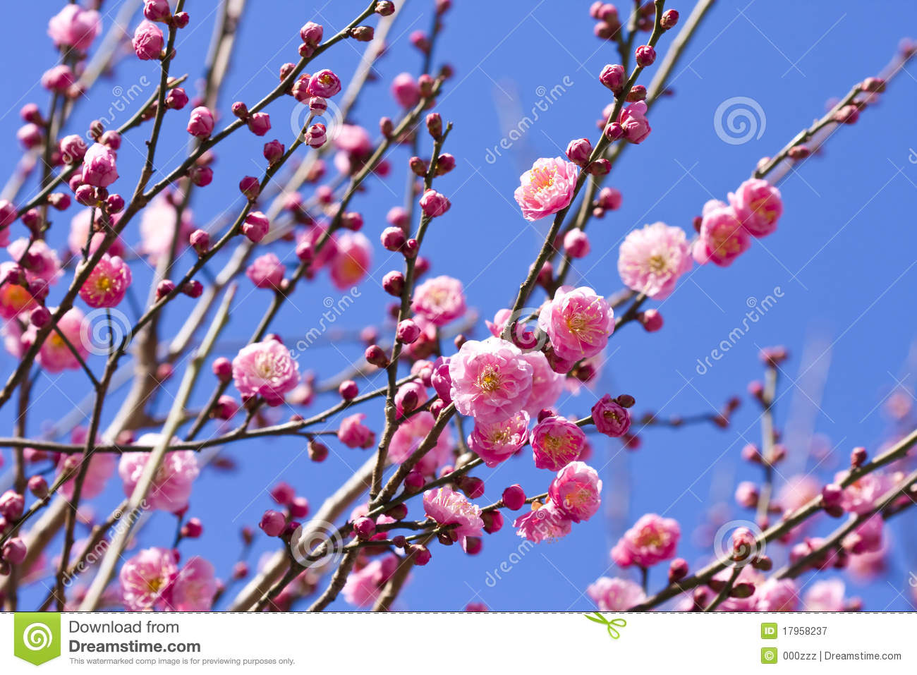 Spring plum blossom branches pink flower