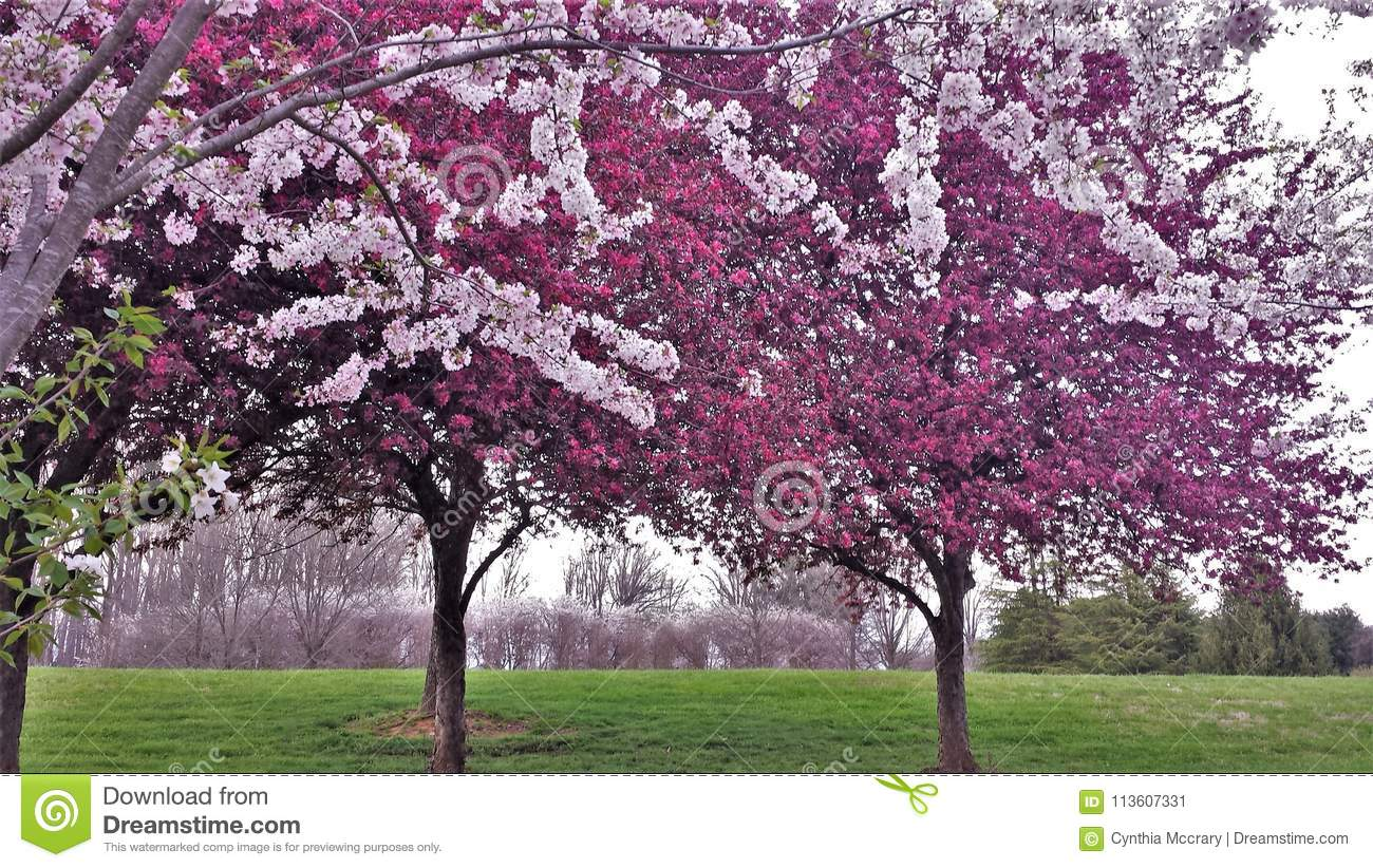 Ornamental Cherry and Crabapple Trees Blooming