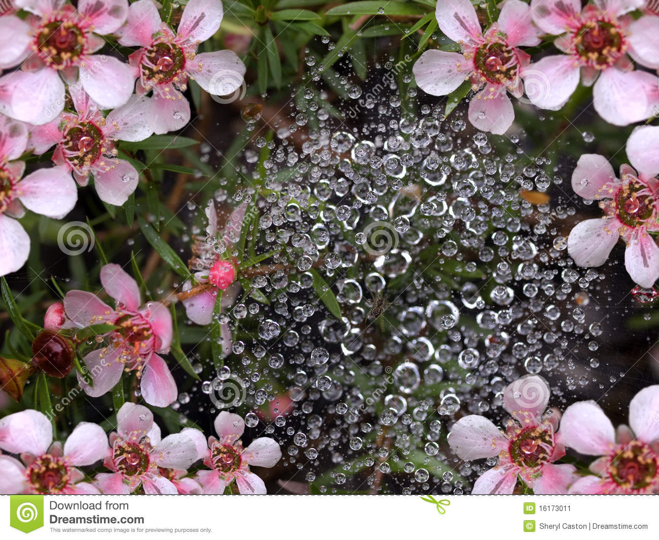 Spring Rain Water Drops On Spider Web Stock Image - Image