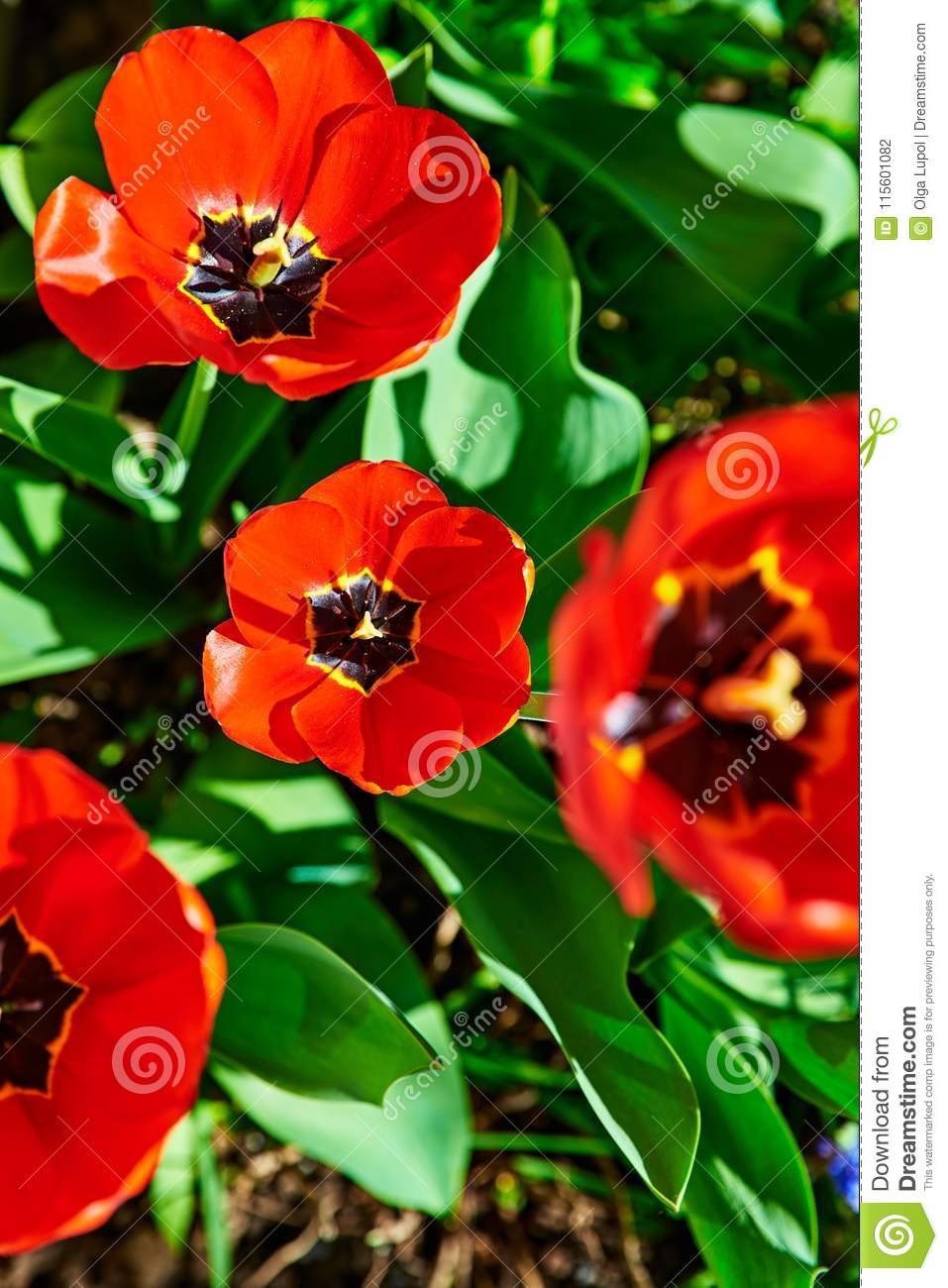 Spring Red Flower Tulips Bunch Dutch Flowers Stock Photo Image Of
