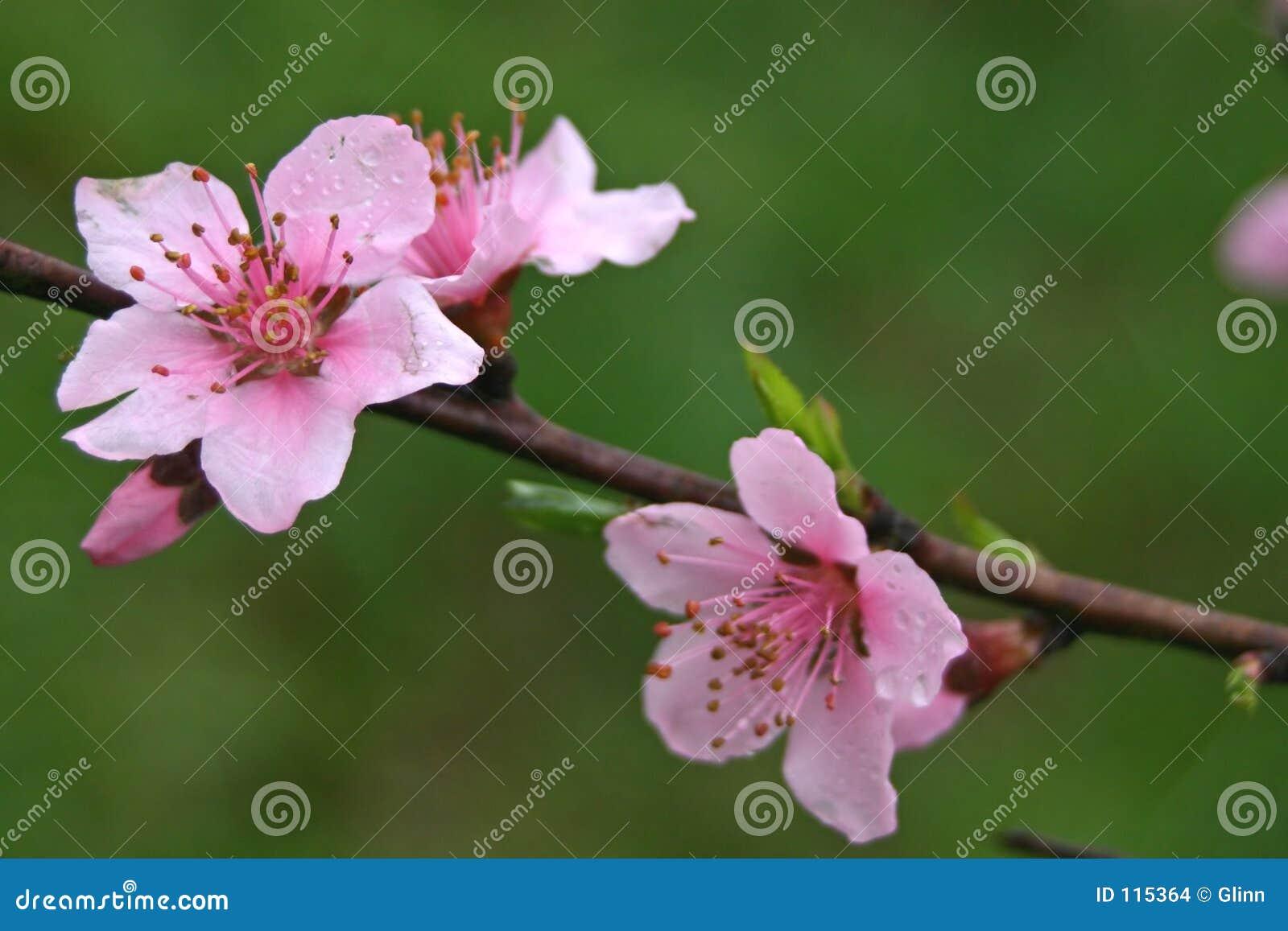 Download Spring Redbud Blooms stock photo. Image of garden, eastern - 115364