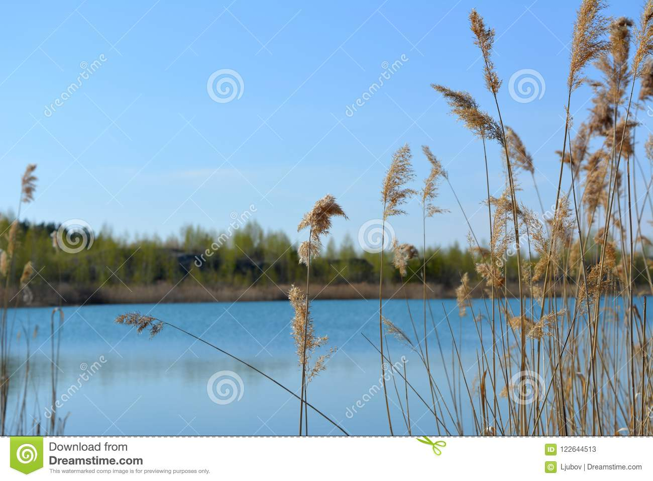 Spring scene with view to lake through thickets of bulrush. Blue sky and water in spring day.