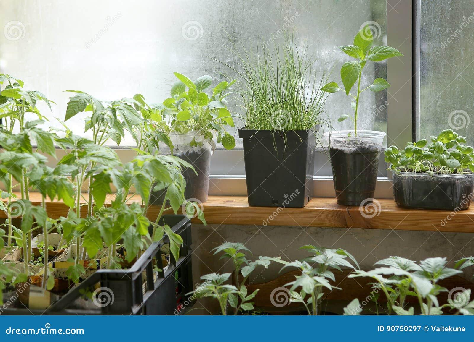 Spring seedlings: tomatoes, pepper, cabbages, basil and leeks. Vegetable seedlings in pots on windowsill.