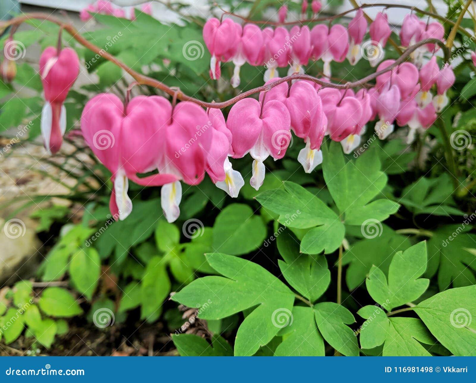 Bleeding Hearts Chain In Bloom Stock Photo Image Of Loving Petal