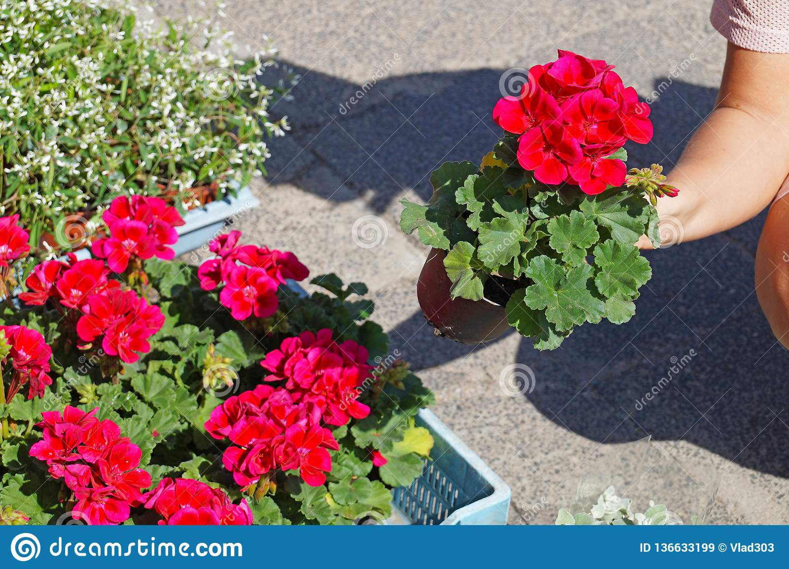 A Woman Choosing Pelargonium Flowers Before Buying Commonly Known