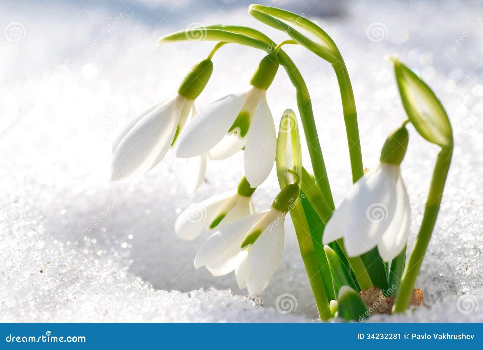 spring snowdrop flowers stock image image of closeup 34232281