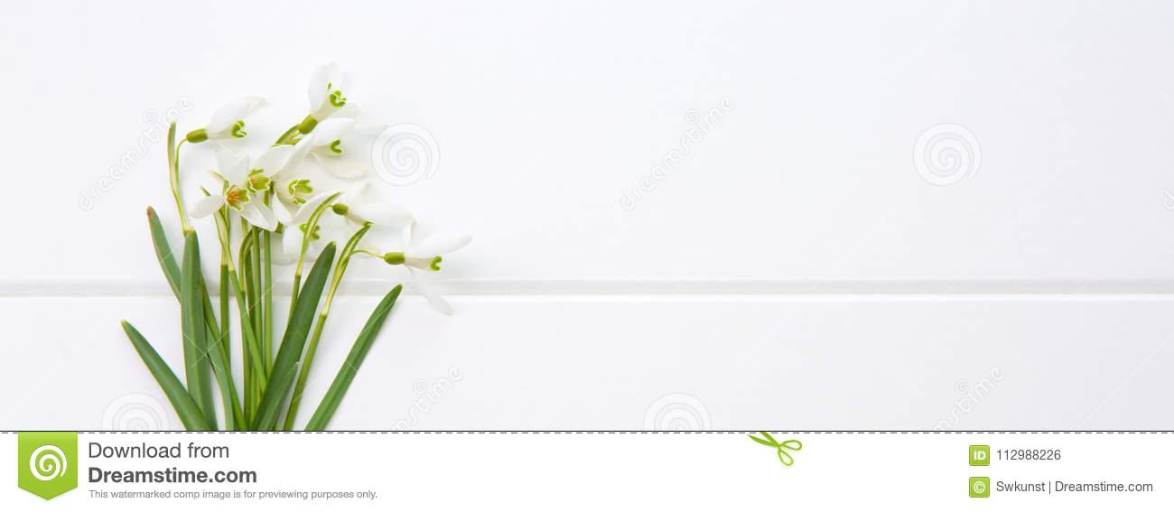 Spring snowdrop isolated .