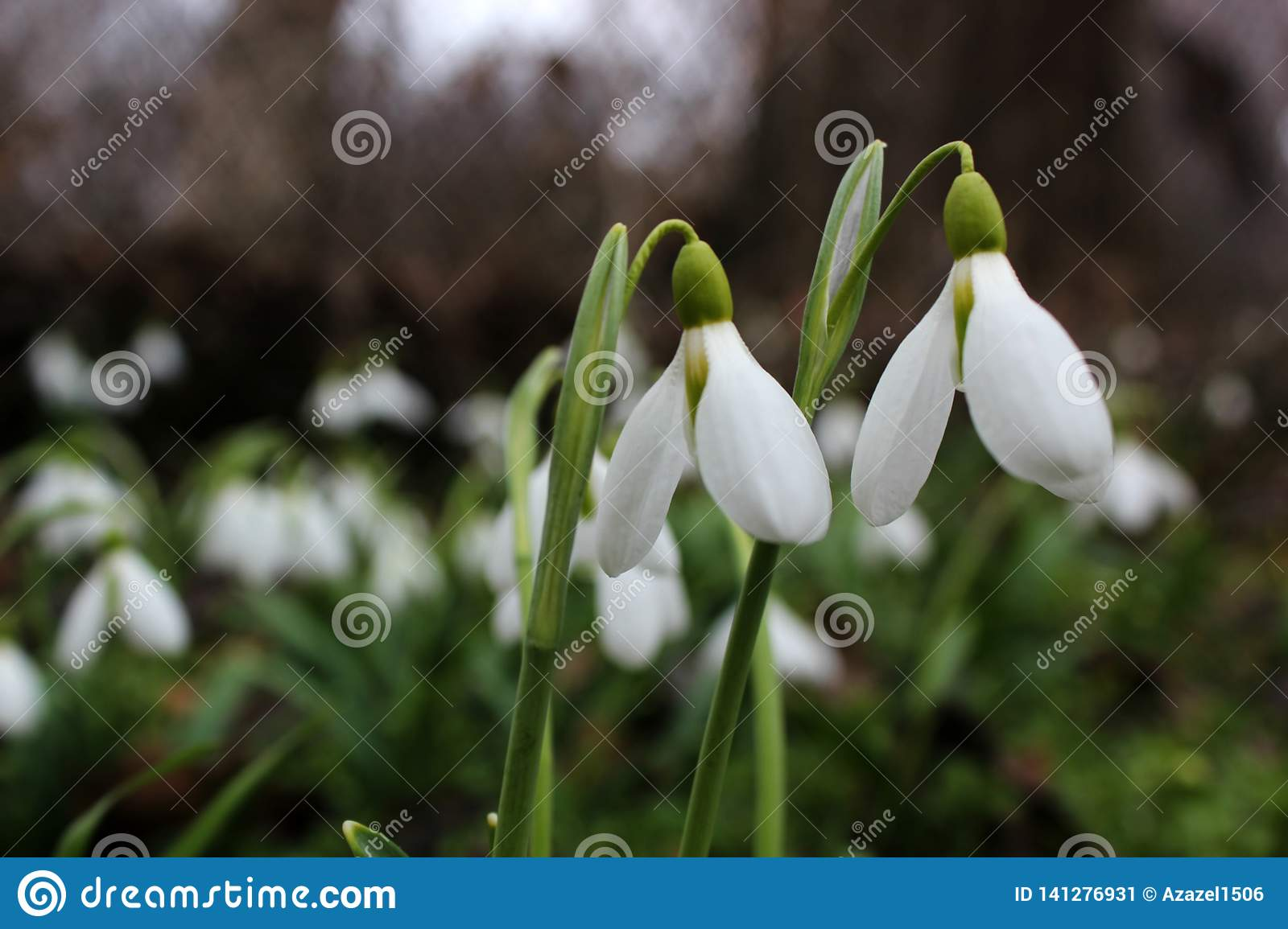 Spring snowdrops bloom, white water lilies grow