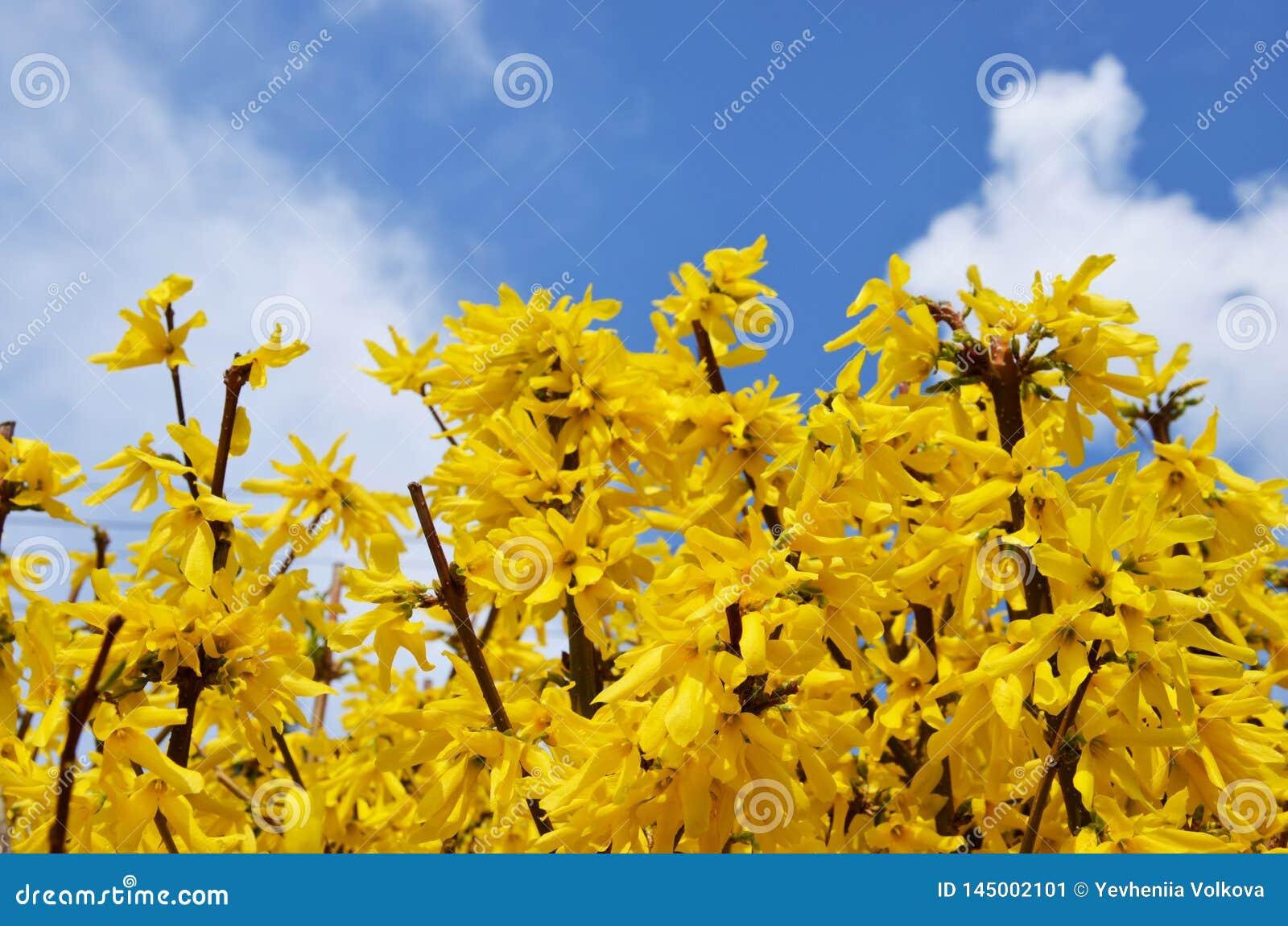 Spring Spring Yellow Forsythia Bushes Stock Image Image Of