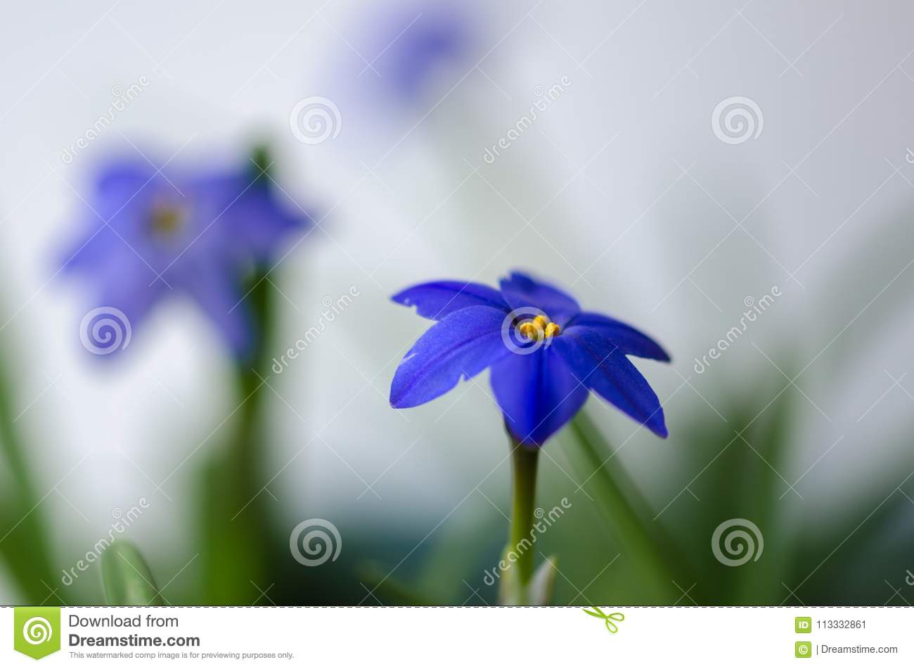Spring Star Flower Is A Blue Bulbous Flower That Blooms In The S