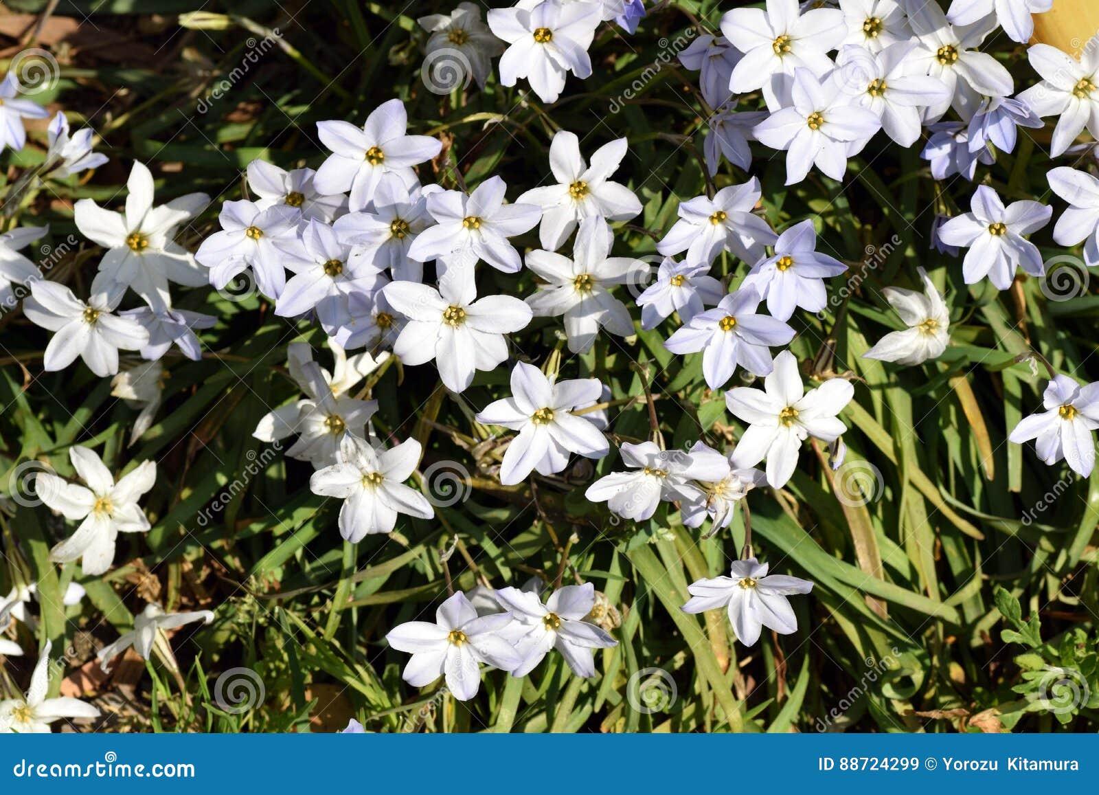 Spring Starflower Stock Image Image Of Star Often Name 88724299